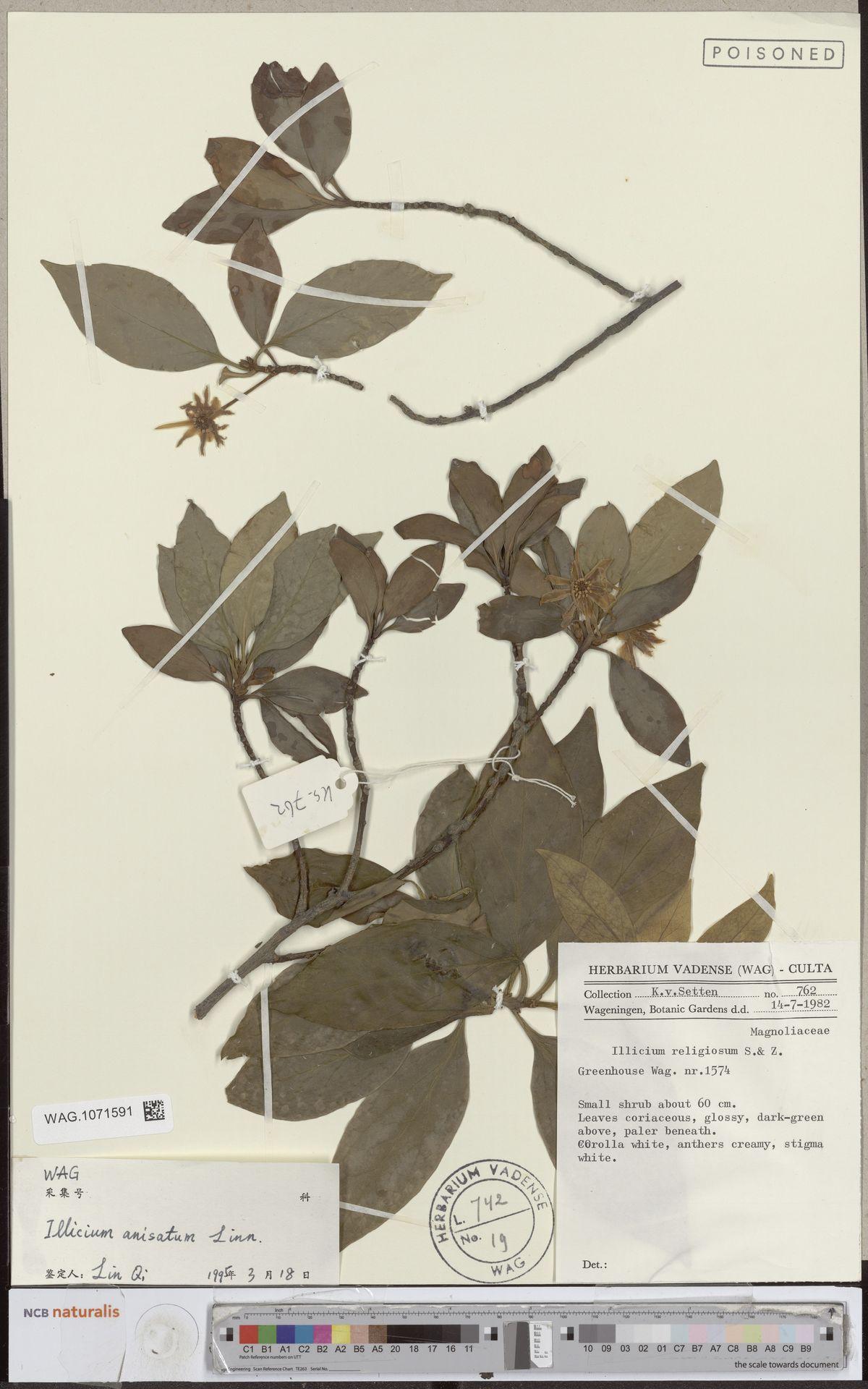 WAG.1071591 | Illicium anisatum L.