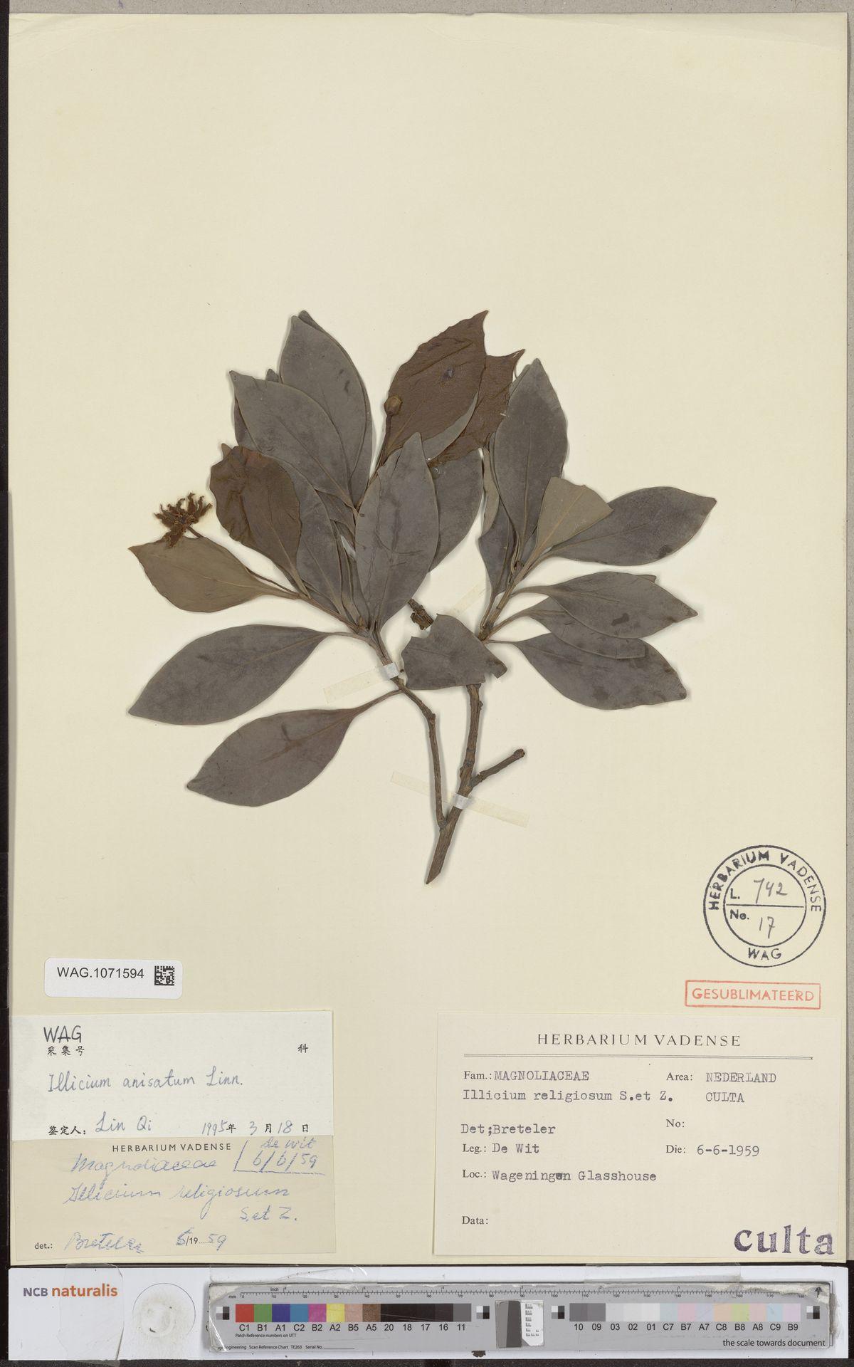 WAG.1071594 | Illicium anisatum L.