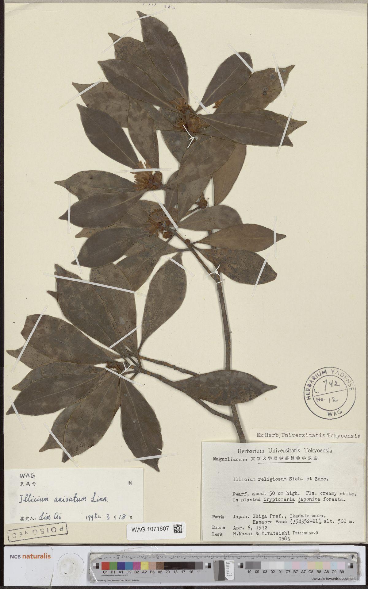 WAG.1071607 | Illicium anisatum L.