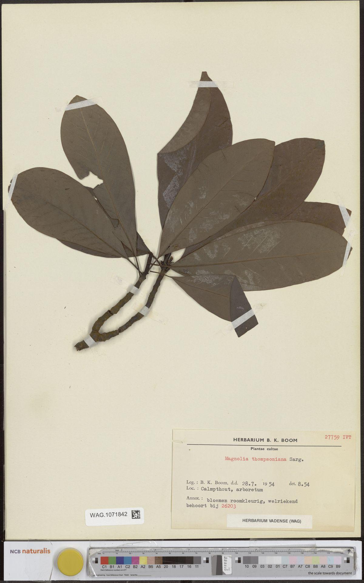 WAG.1071842 | Magnolia ×thompsoniana de Vos