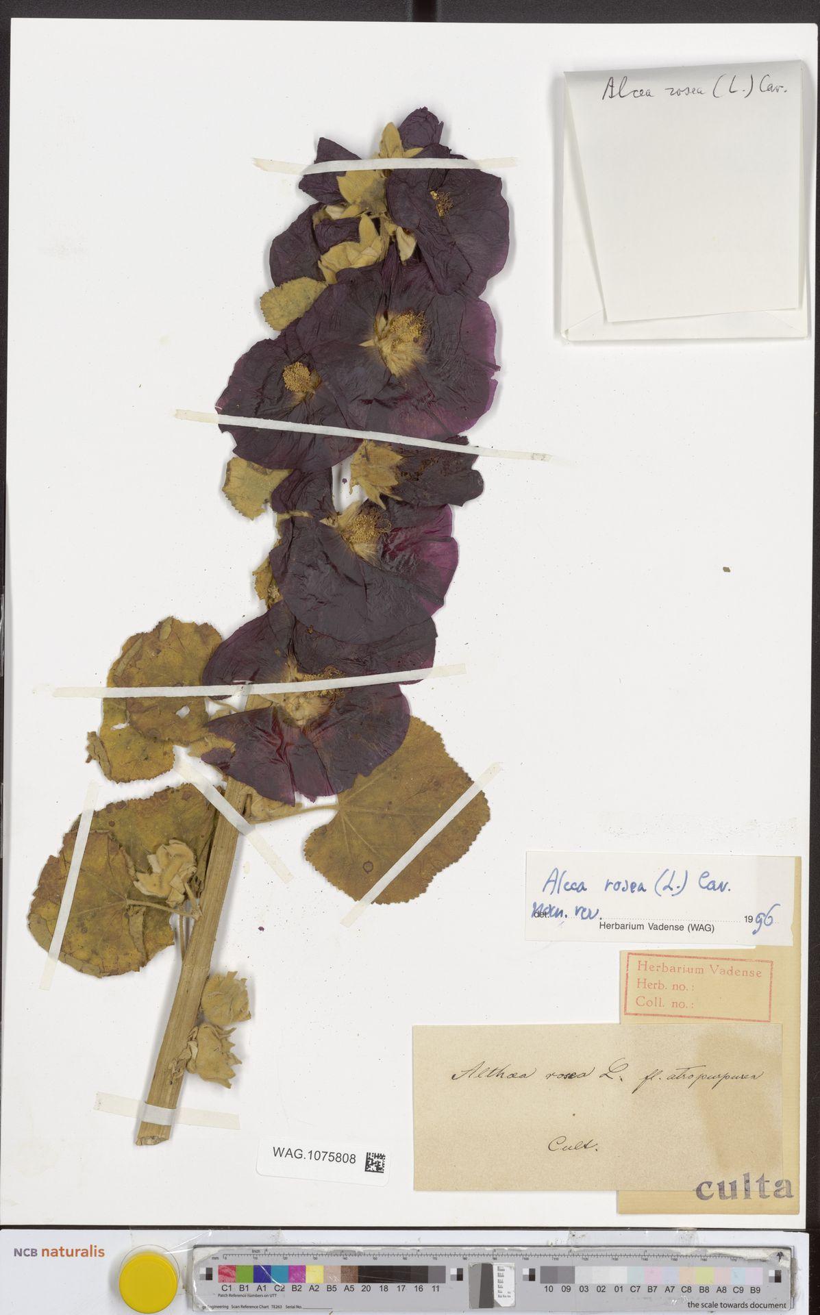 WAG.1075808 | Alcea rosea L.