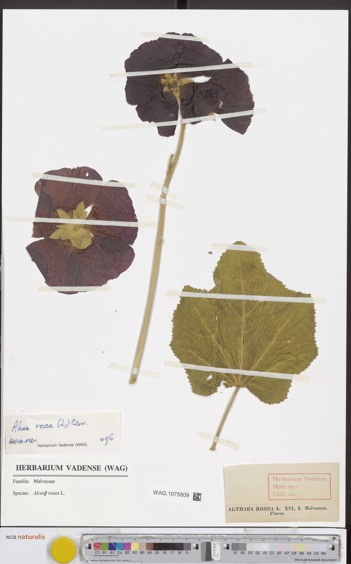 WAG.1075809 | Alcea rosea L.