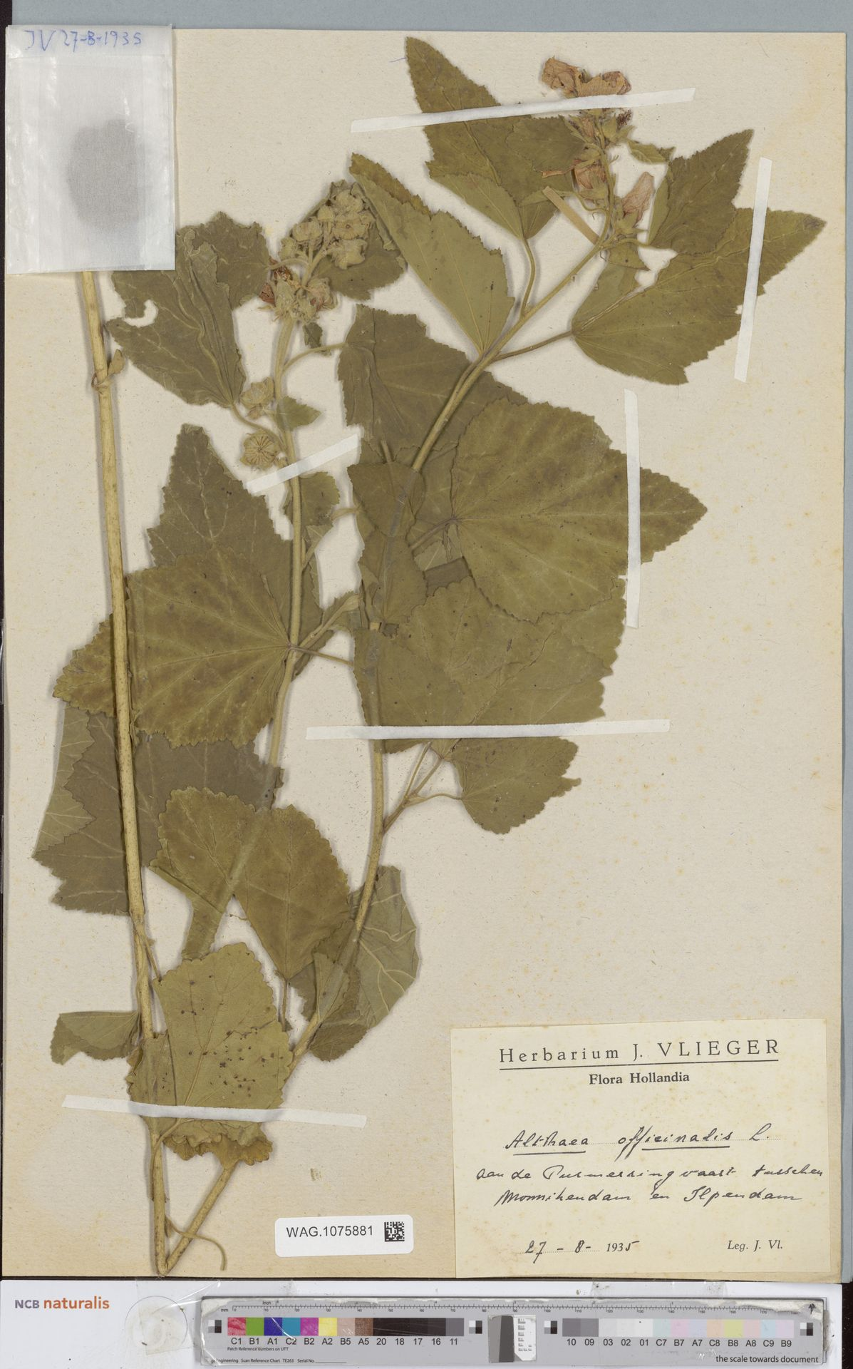 WAG.1075881 | Althaea officinalis L.