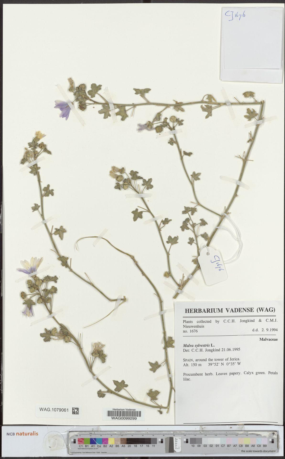 WAG.1079061 | Malva sylvestris L.