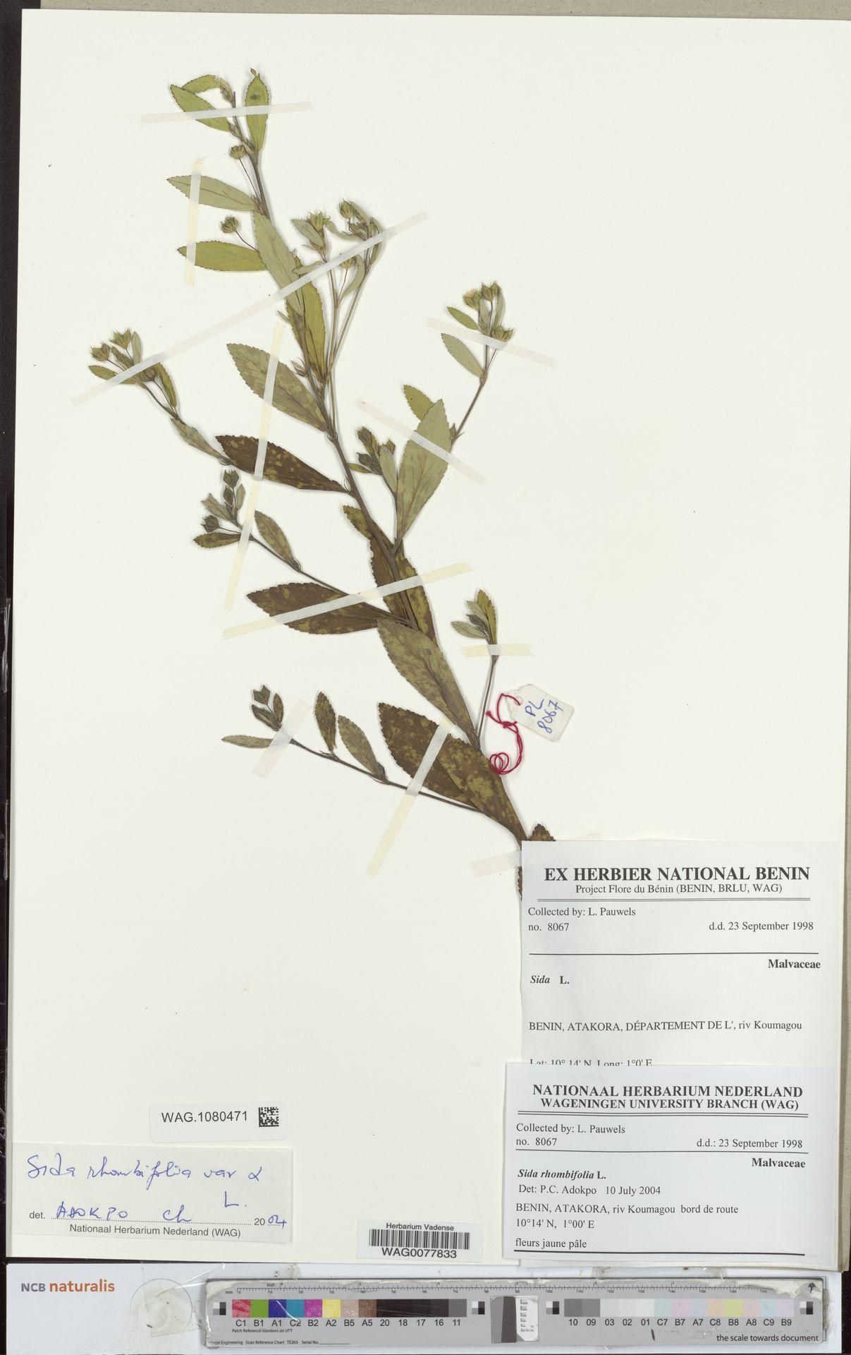 WAG.1080471 | Sida rhombifolia L.