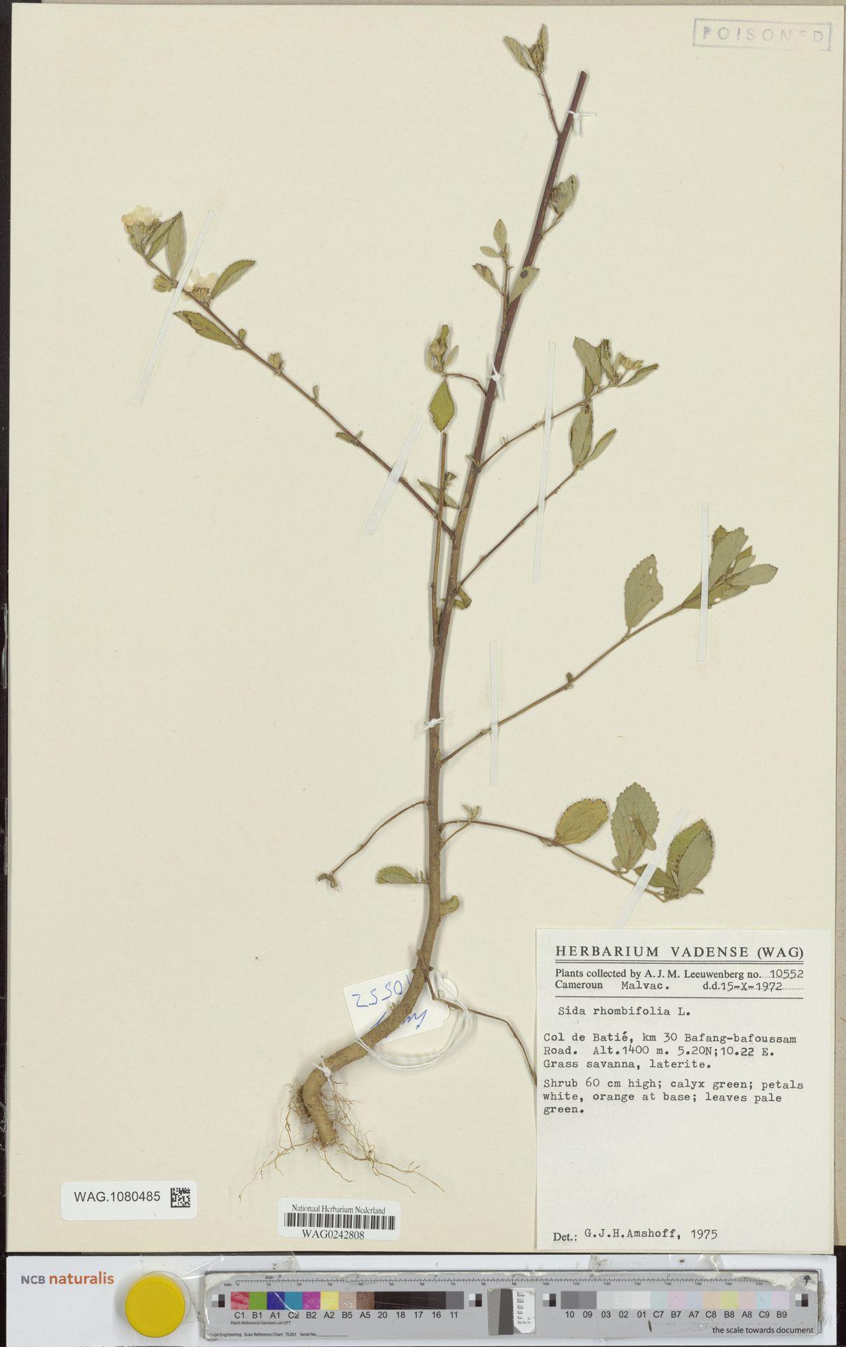 WAG.1080485 | Sida rhombifolia L.