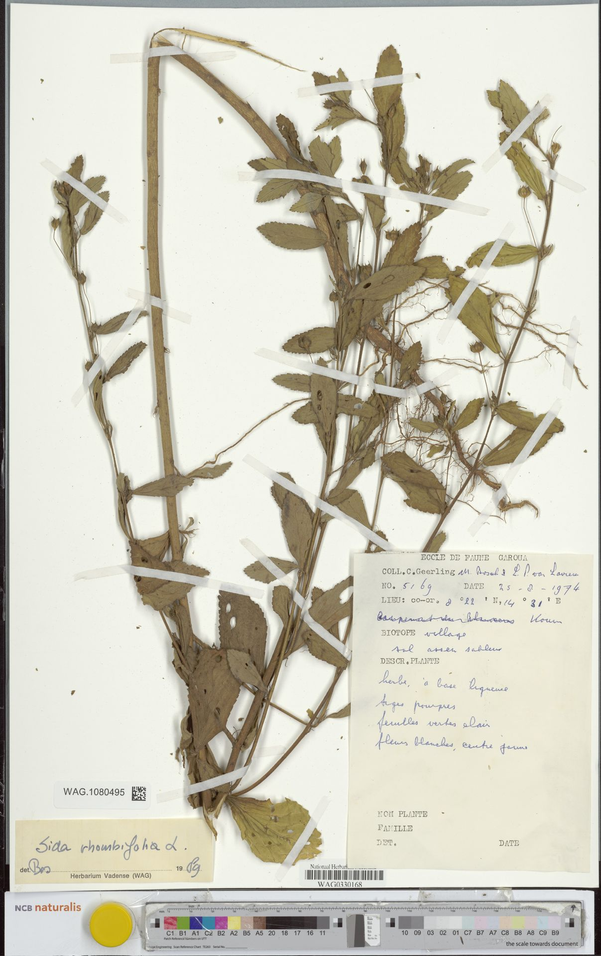 WAG.1080495 | Sida rhombifolia L.