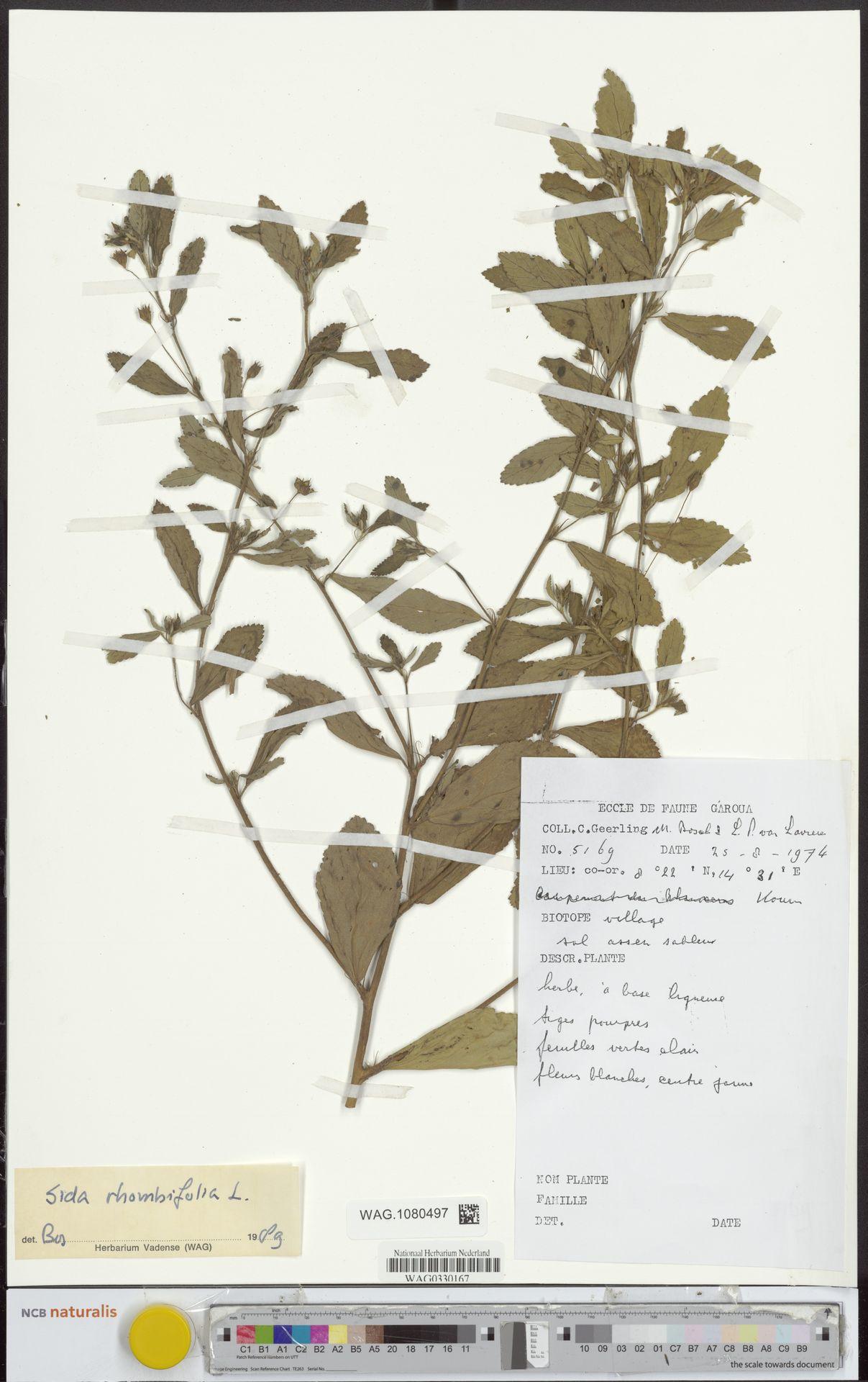WAG.1080497 | Sida rhombifolia L.