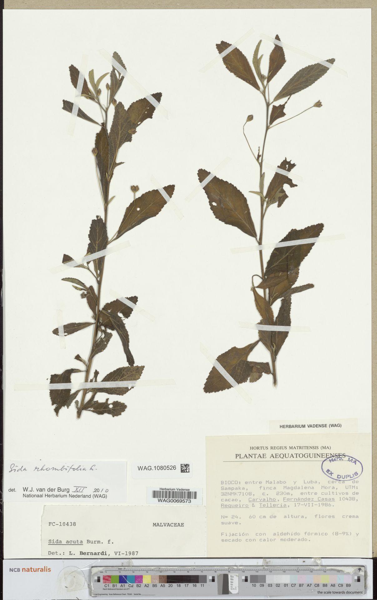 WAG.1080526 | Sida rhombifolia L.
