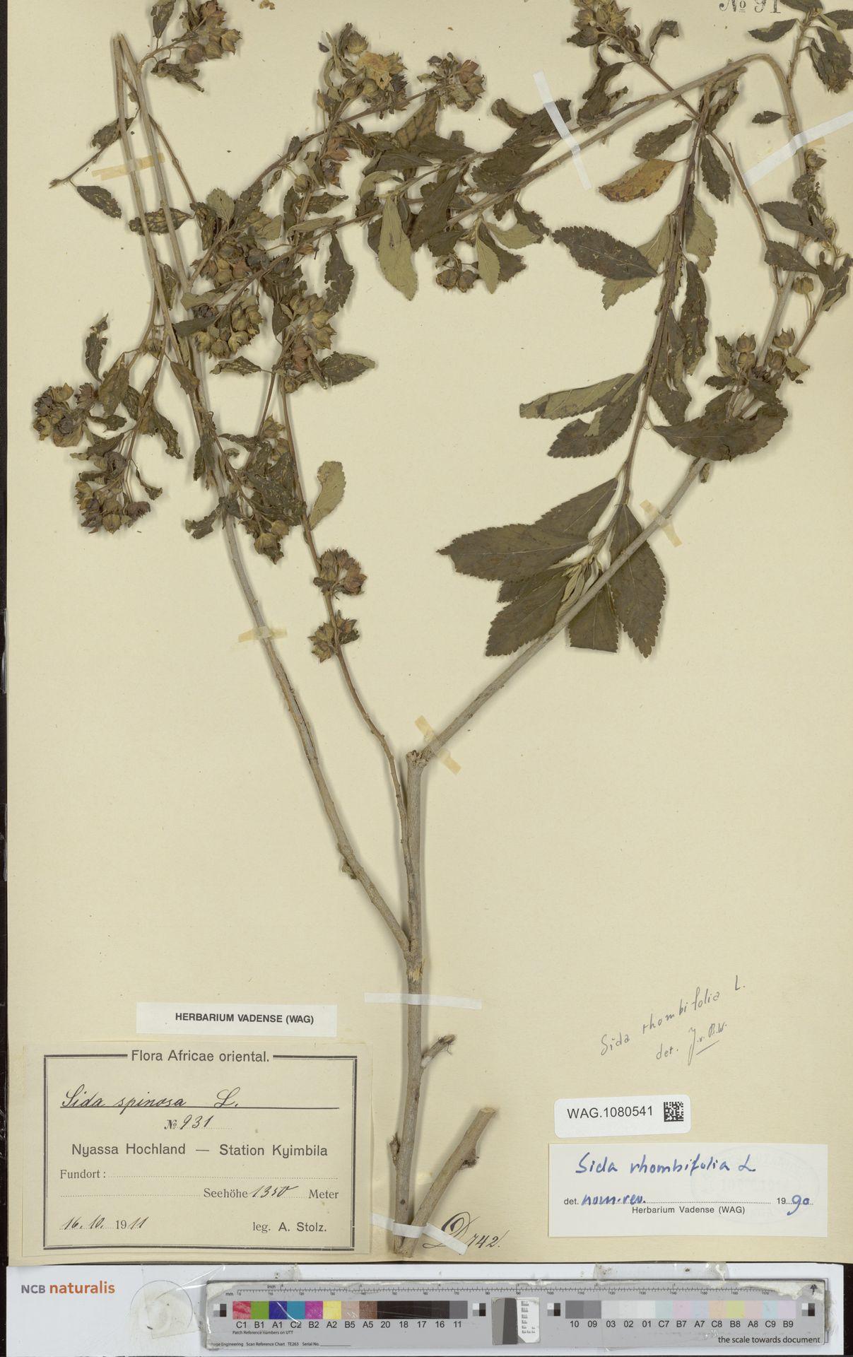 WAG.1080541 | Sida rhombifolia L.