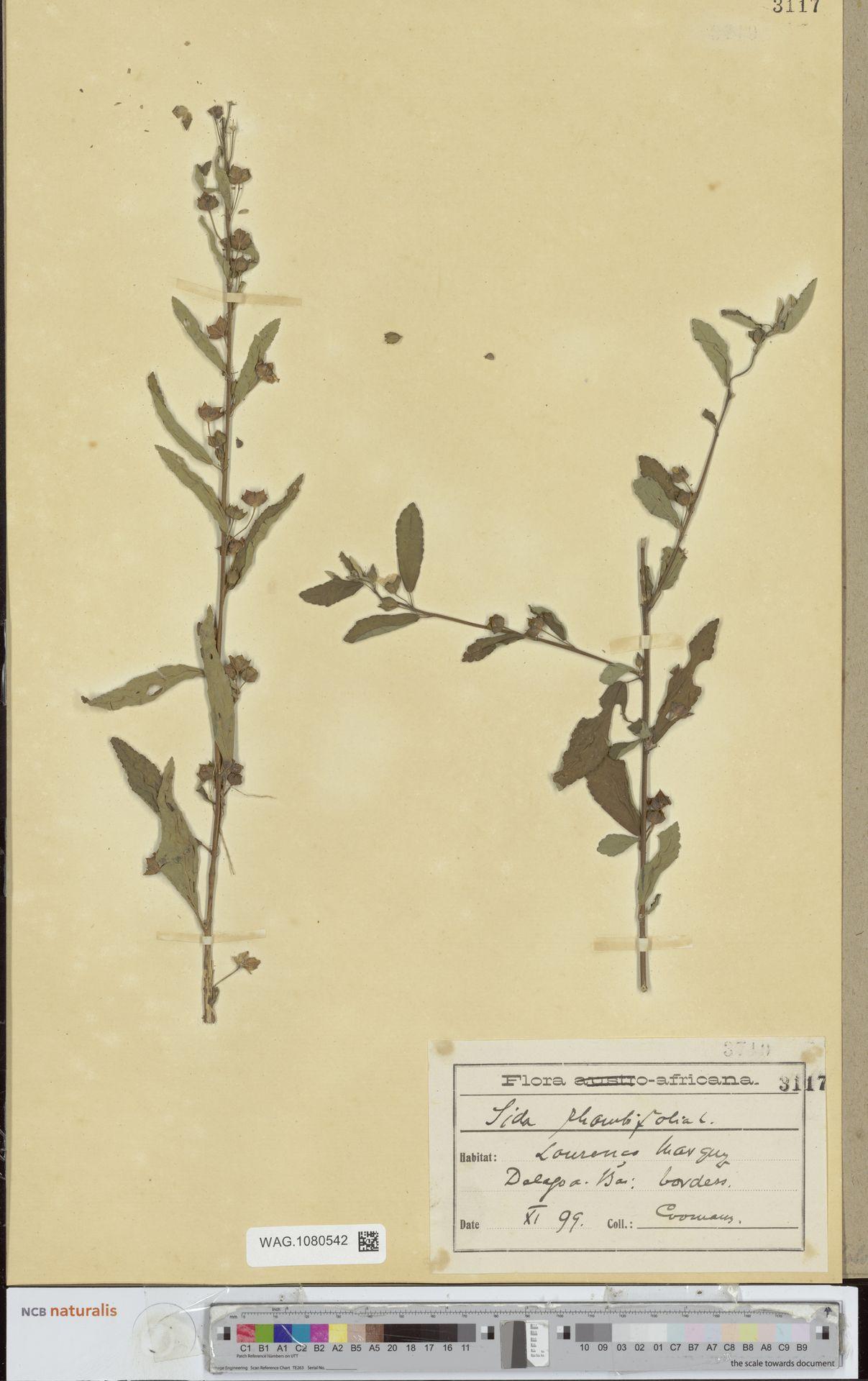 WAG.1080542 | Sida rhombifolia L.