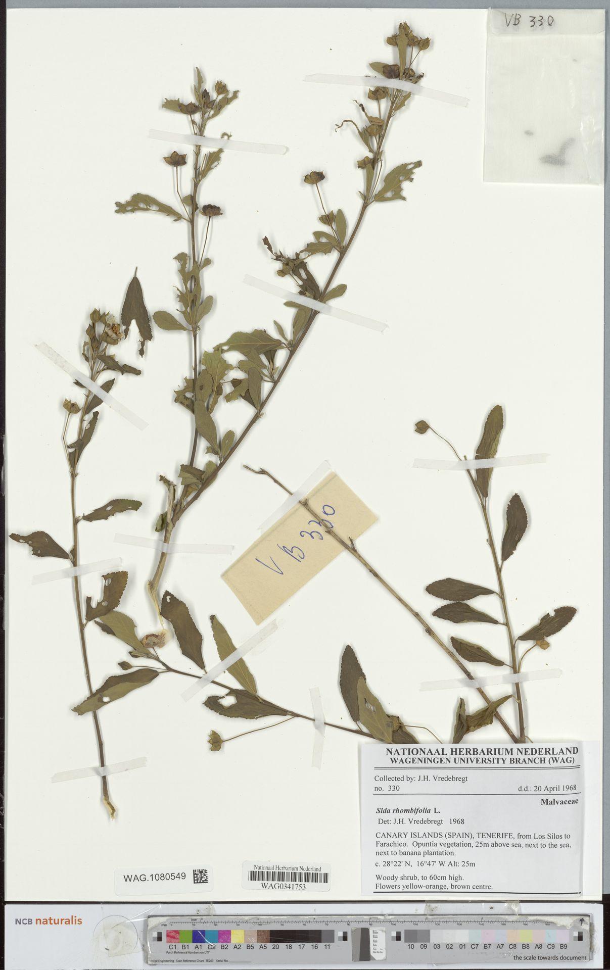 WAG.1080549 | Sida rhombifolia L.