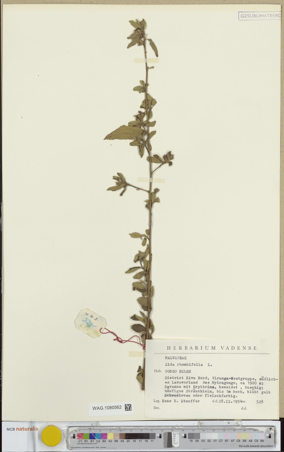 WAG.1080562 | Sida rhombifolia L.