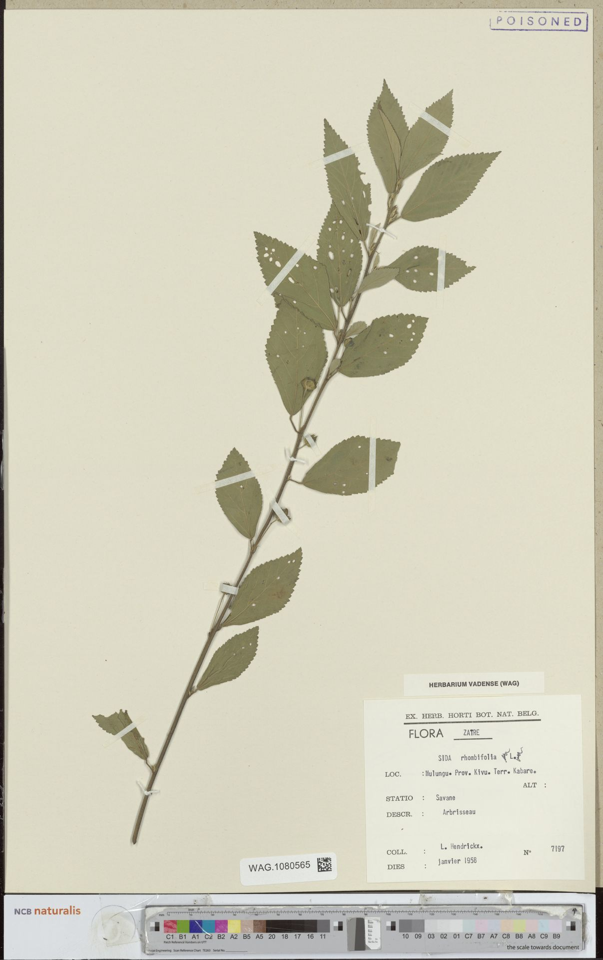 WAG.1080565 | Sida rhombifolia L.