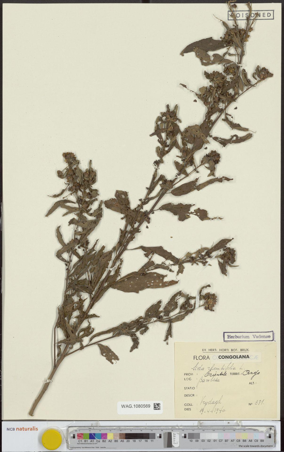 WAG.1080569 | Sida rhombifolia L.