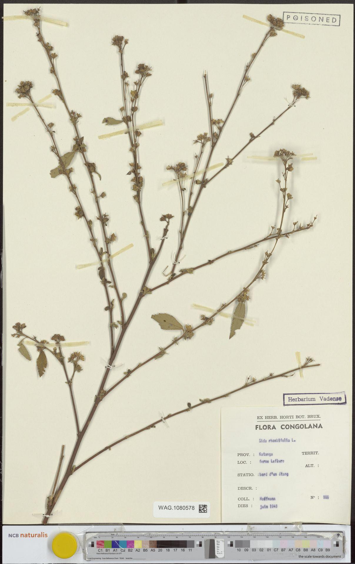 WAG.1080578   Sida rhombifolia L.
