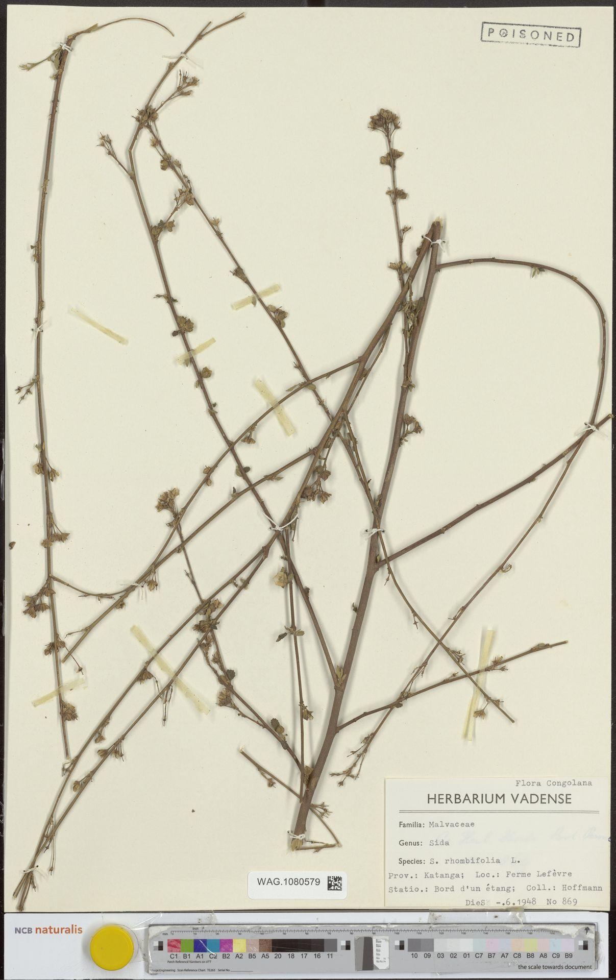 WAG.1080579   Sida rhombifolia L.