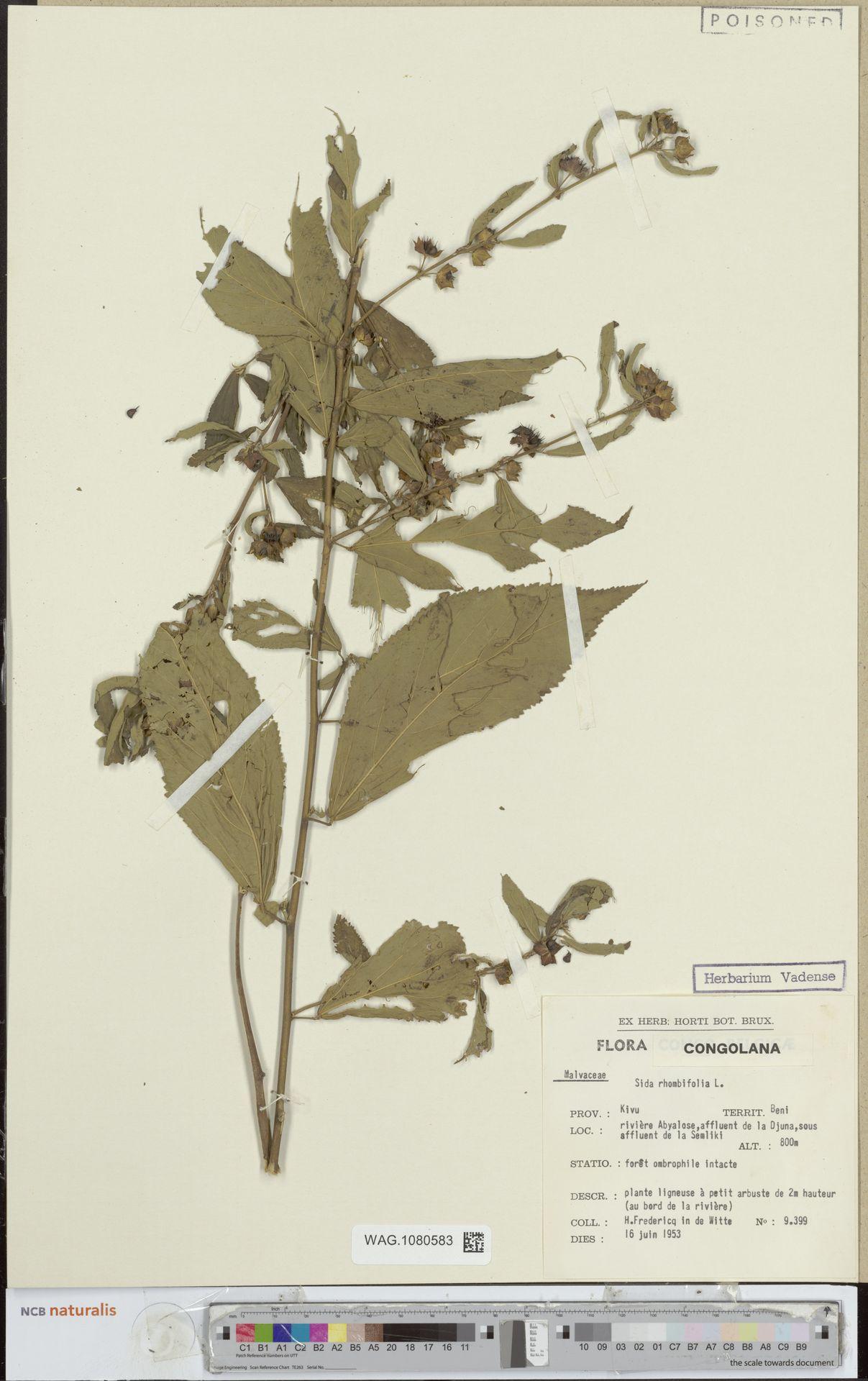 WAG.1080583 | Sida rhombifolia L.