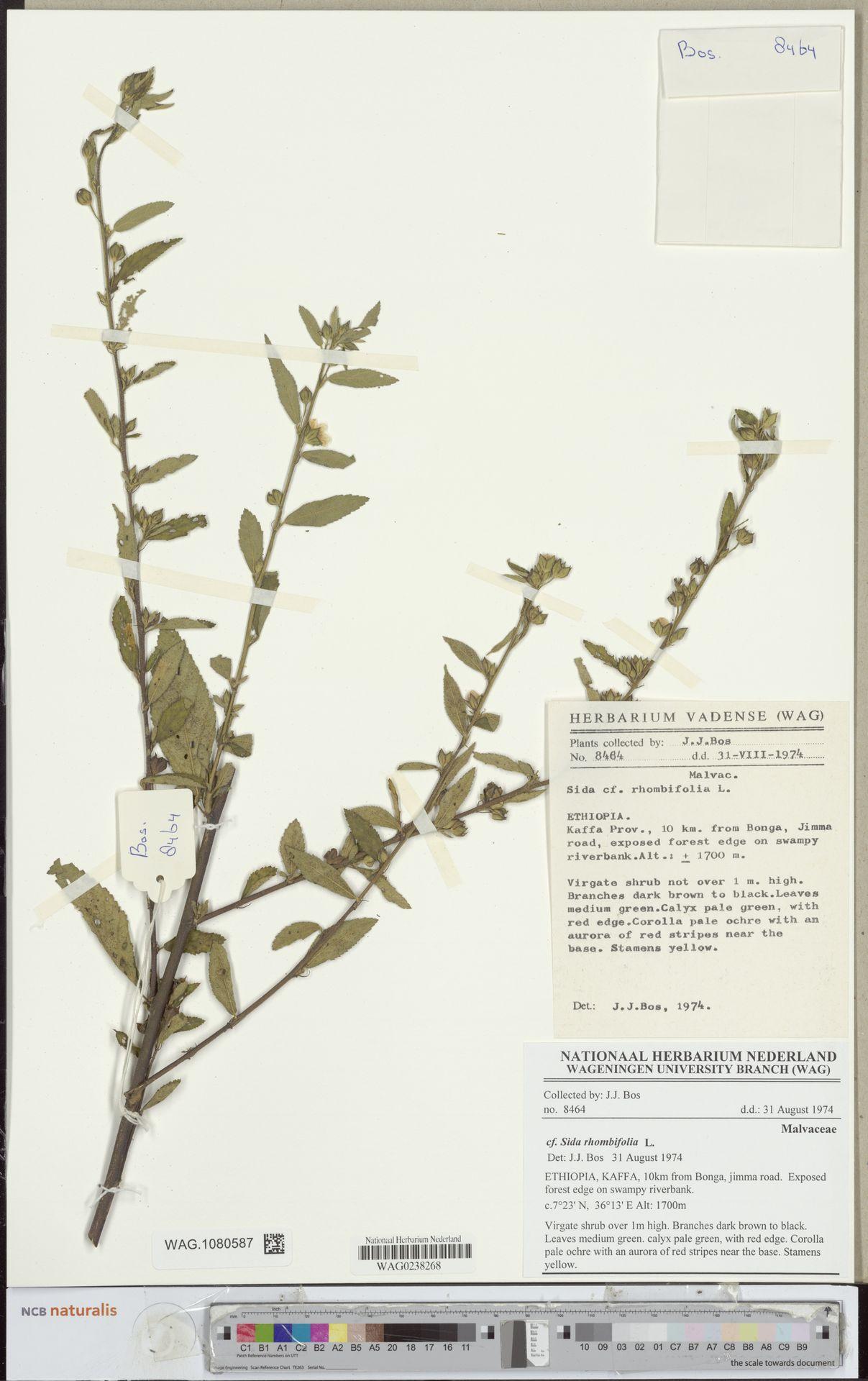 WAG.1080587 | Sida rhombifolia L.