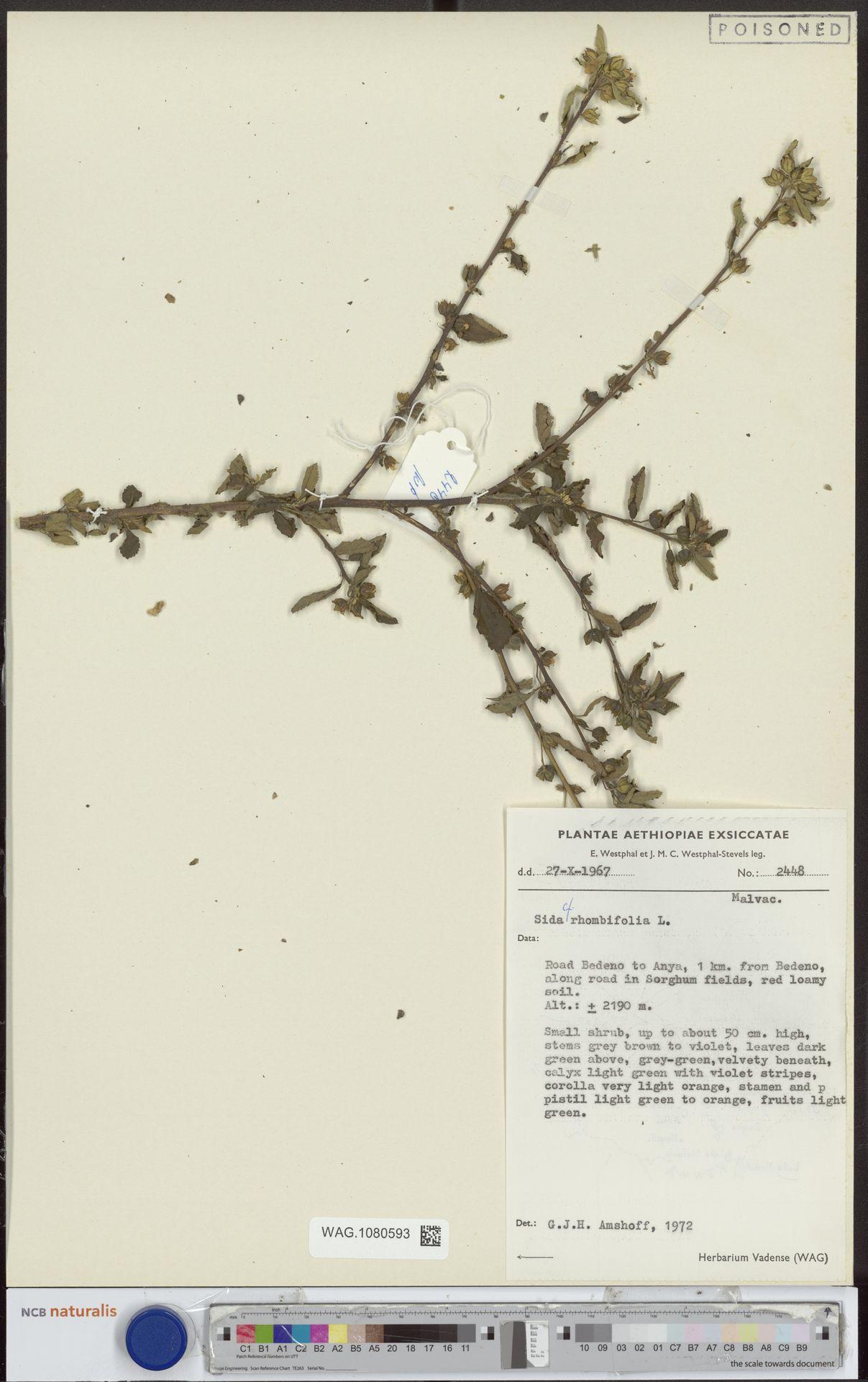 WAG.1080593 | Sida rhombifolia L.