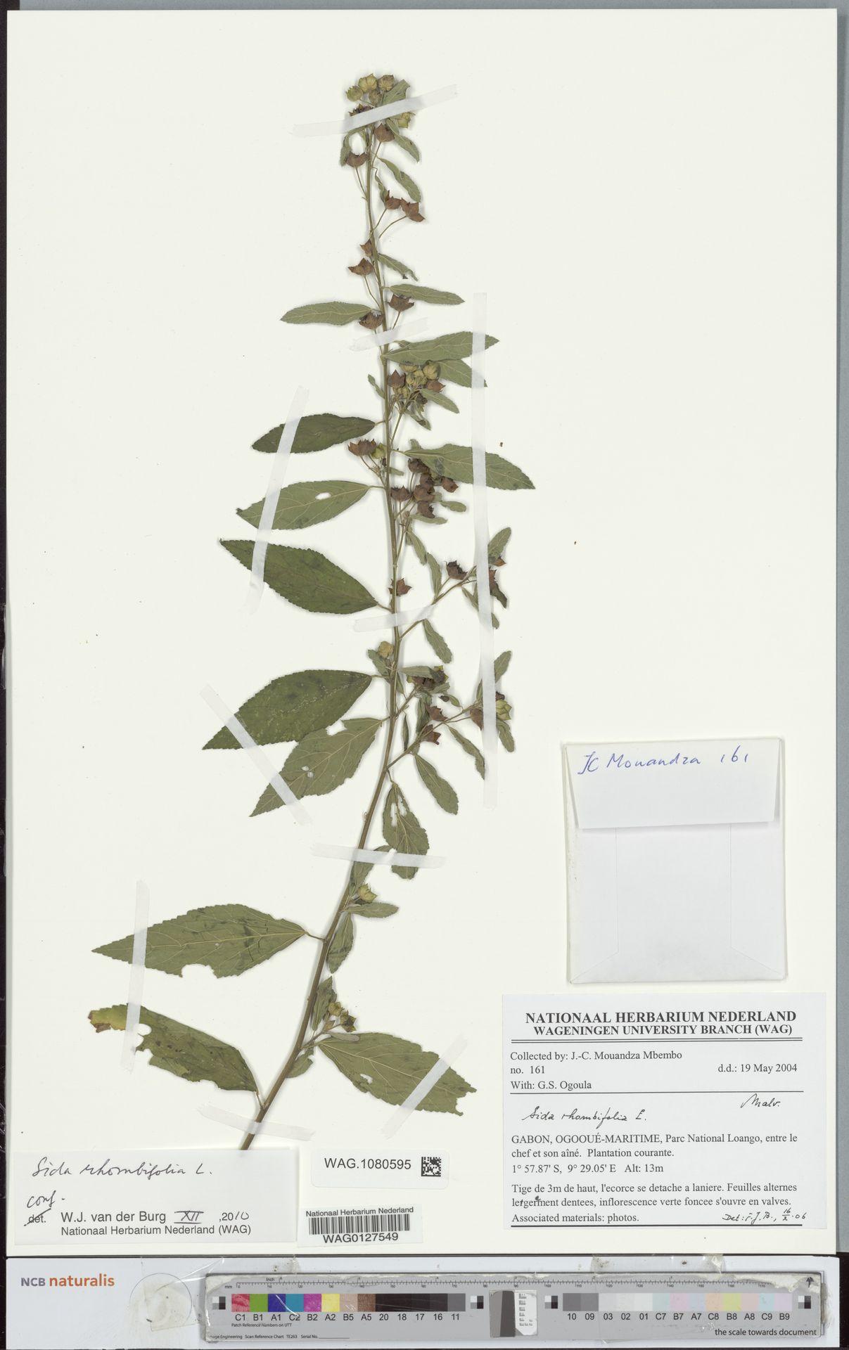 WAG.1080595 | Sida rhombifolia L.