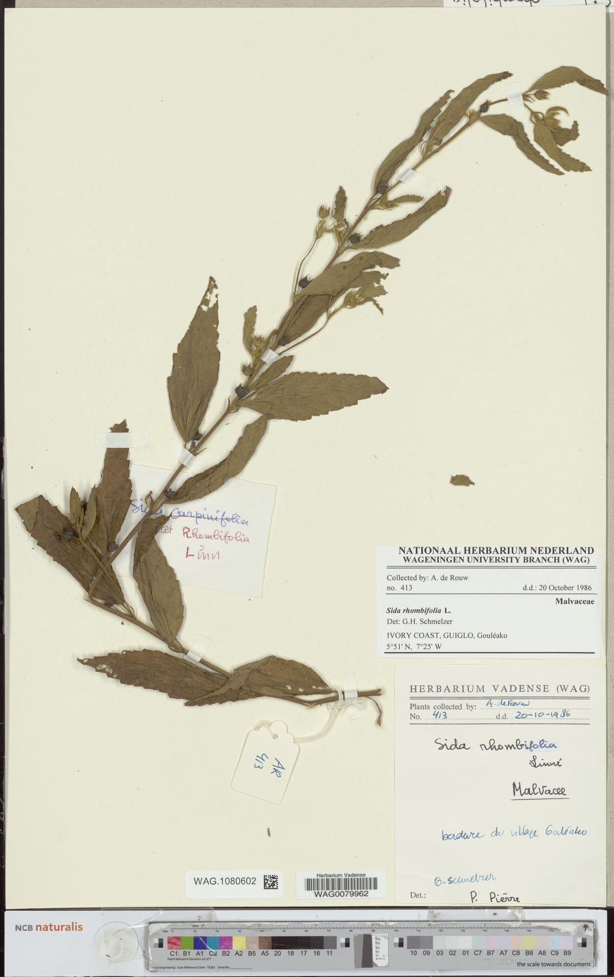 WAG.1080602   Sida rhombifolia L.
