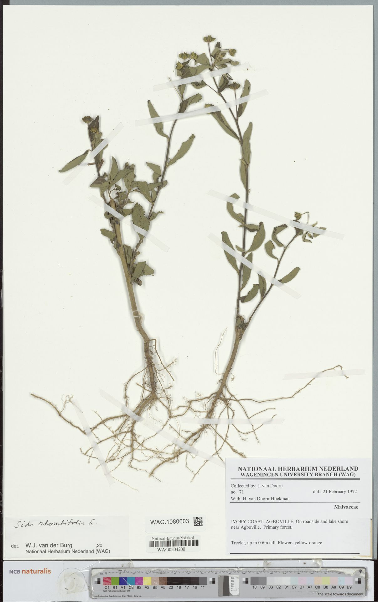 WAG.1080603 | Sida rhombifolia L.
