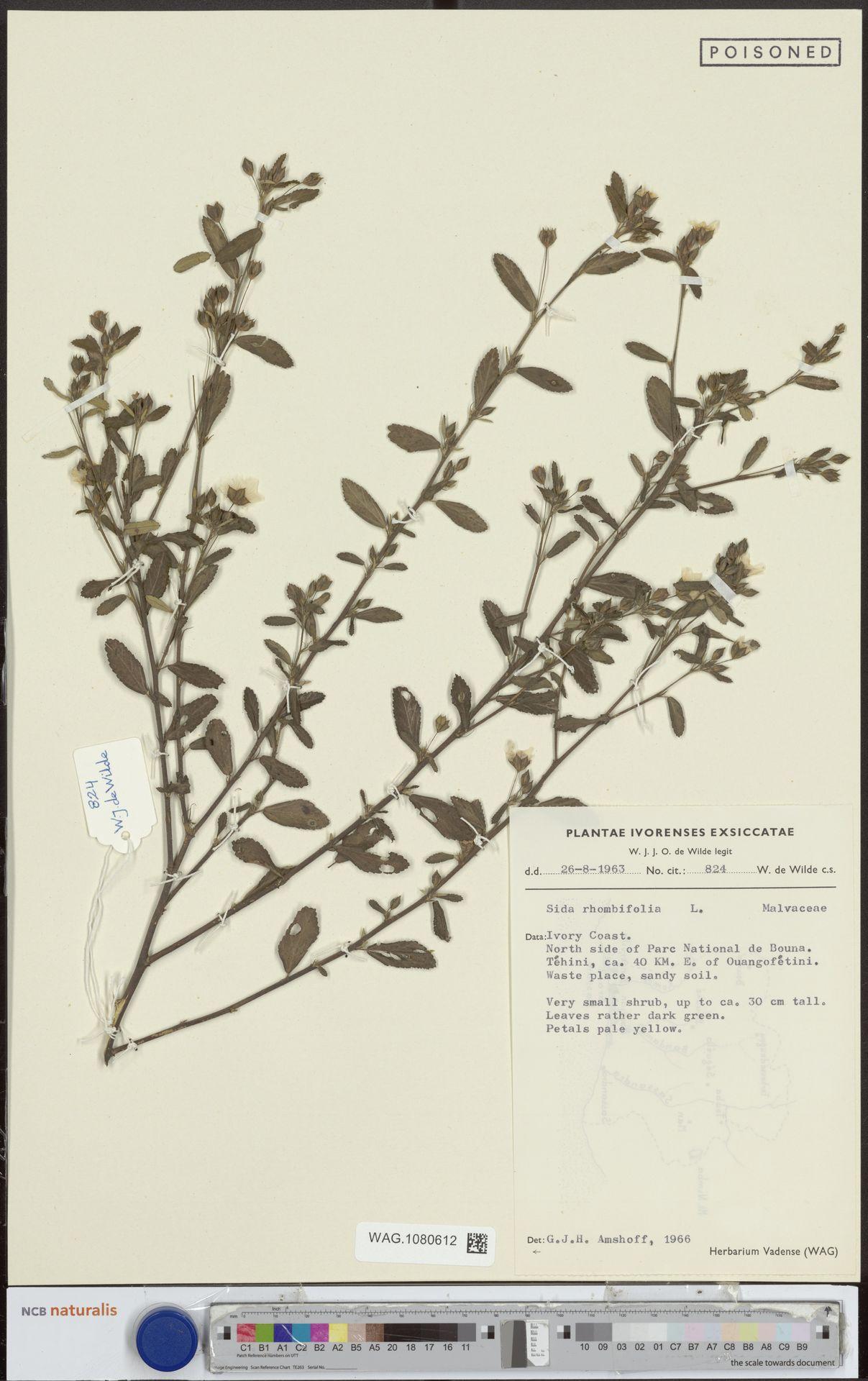 WAG.1080612   Sida rhombifolia L.
