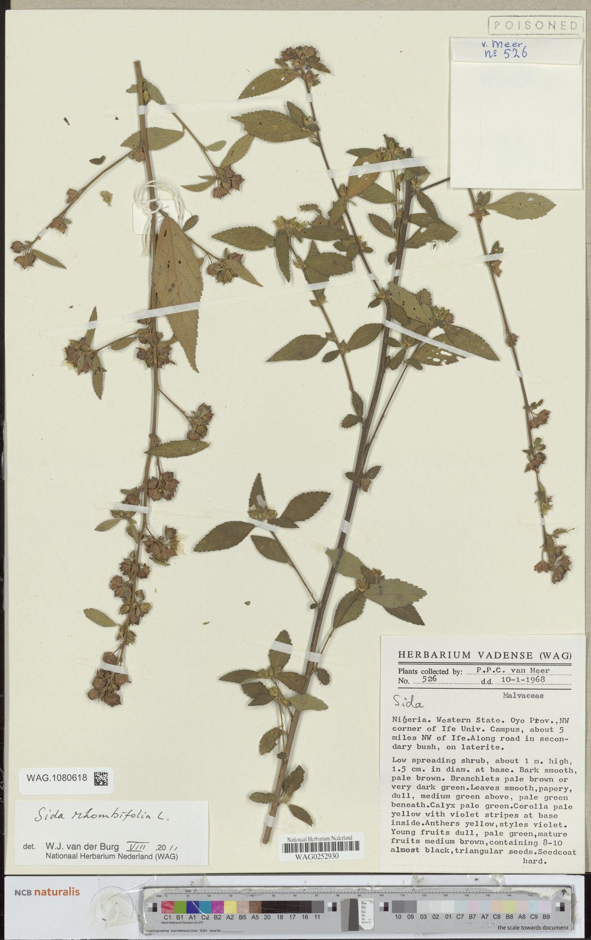 WAG.1080618 | Sida rhombifolia L.