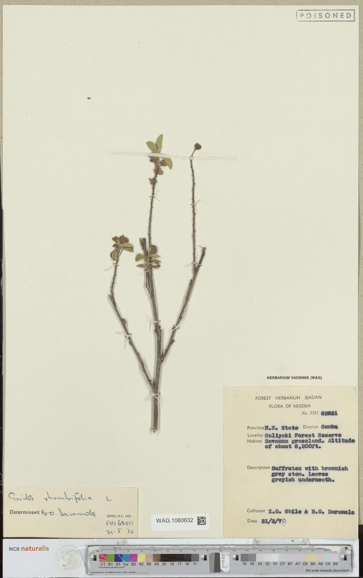 WAG.1080632 | Sida rhombifolia L.