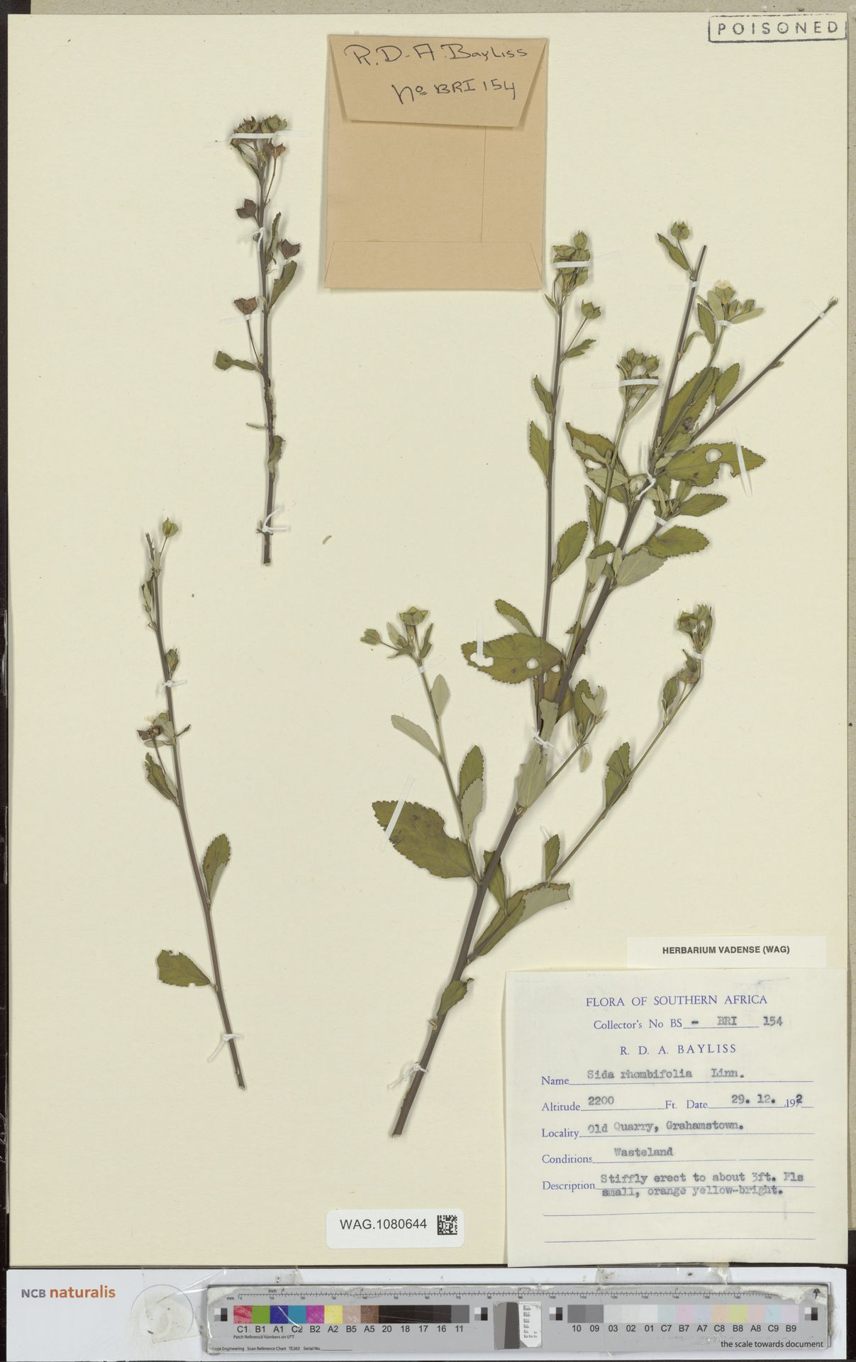 WAG.1080644 | Sida rhombifolia L.