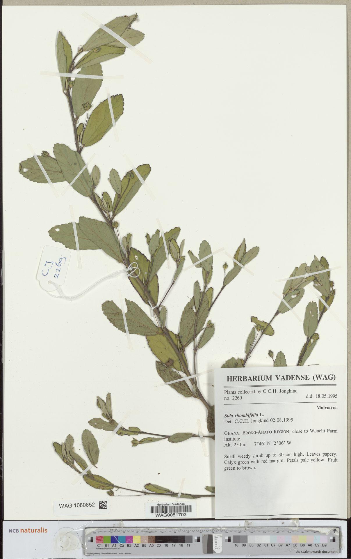 WAG.1080652 | Sida rhombifolia L.