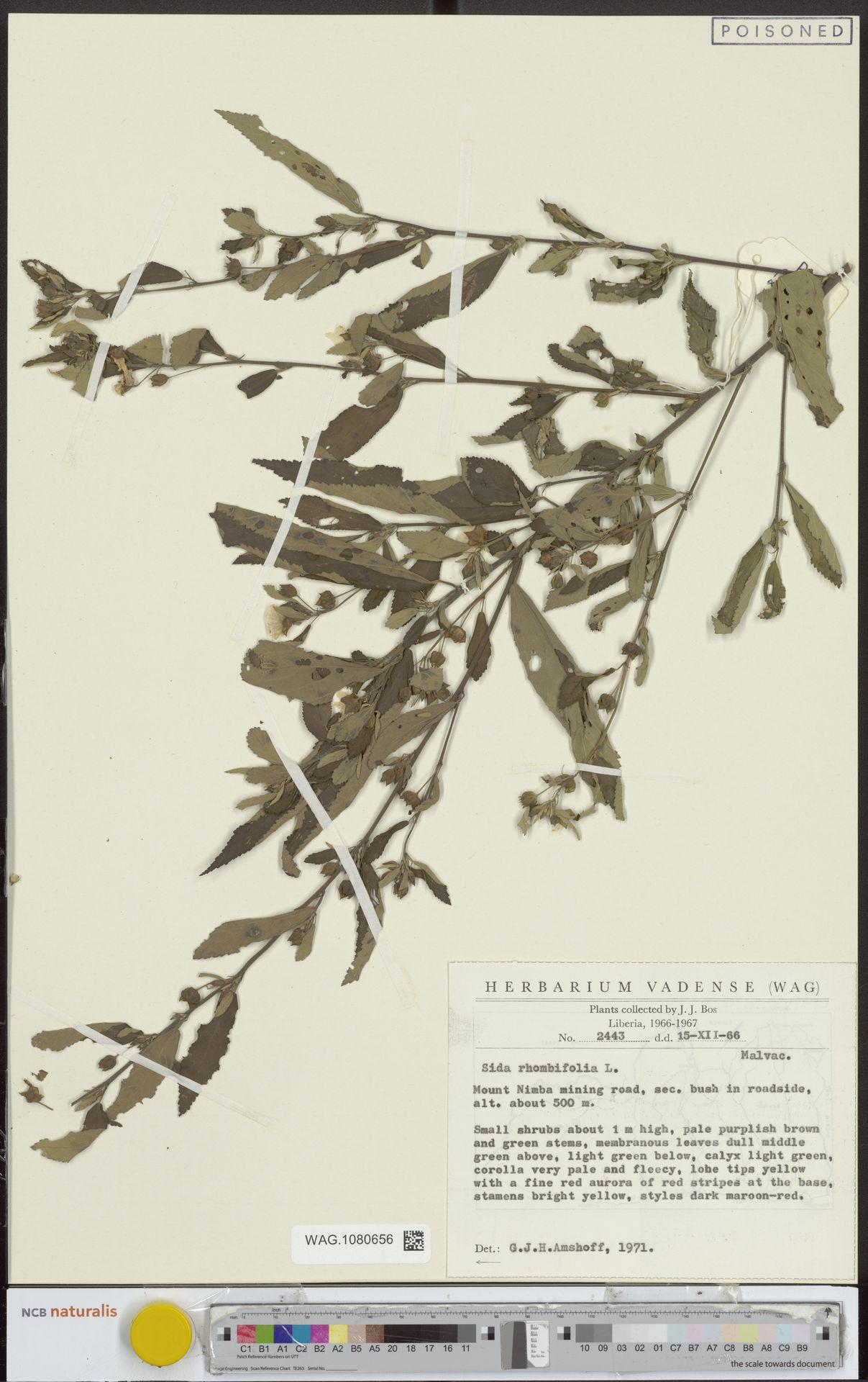 WAG.1080656 | Sida rhombifolia L.