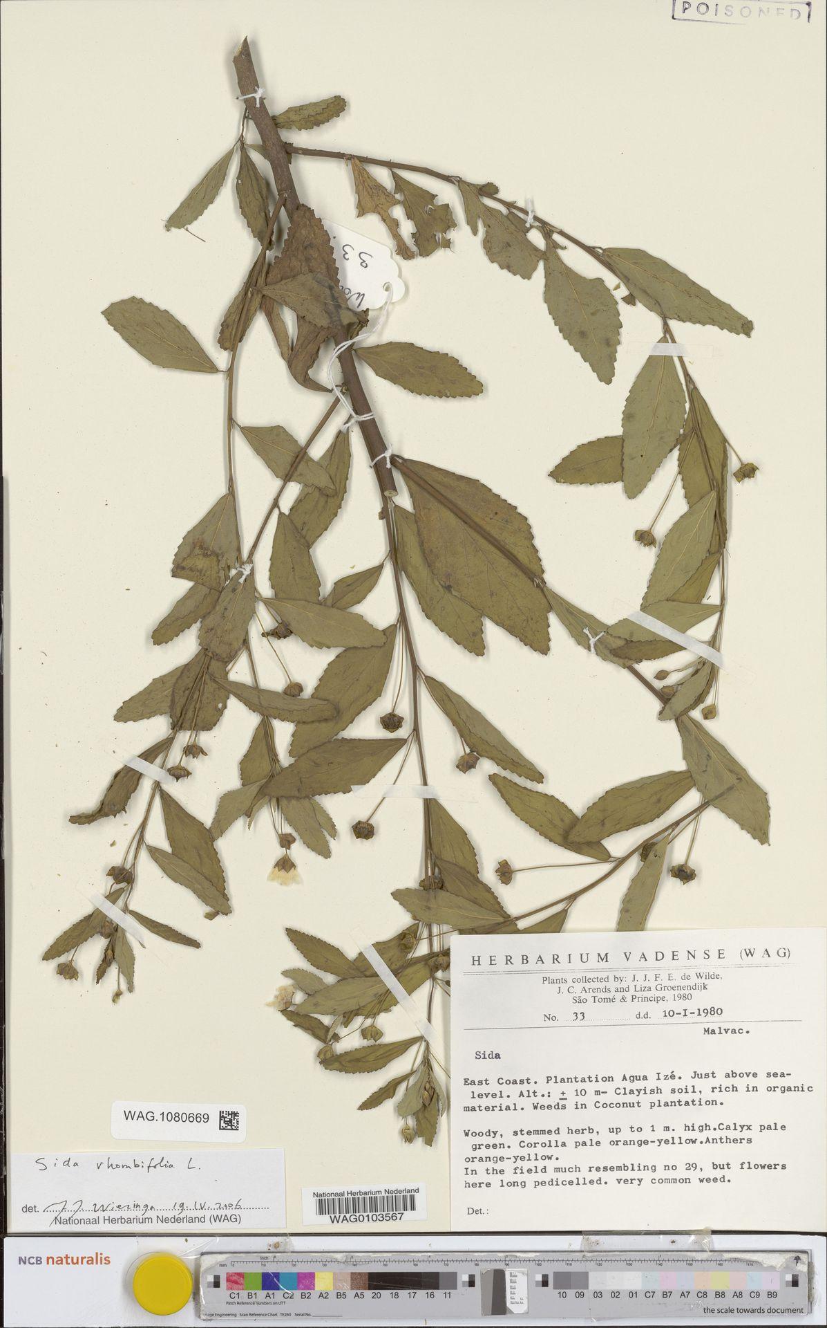 WAG.1080669 | Sida rhombifolia L.