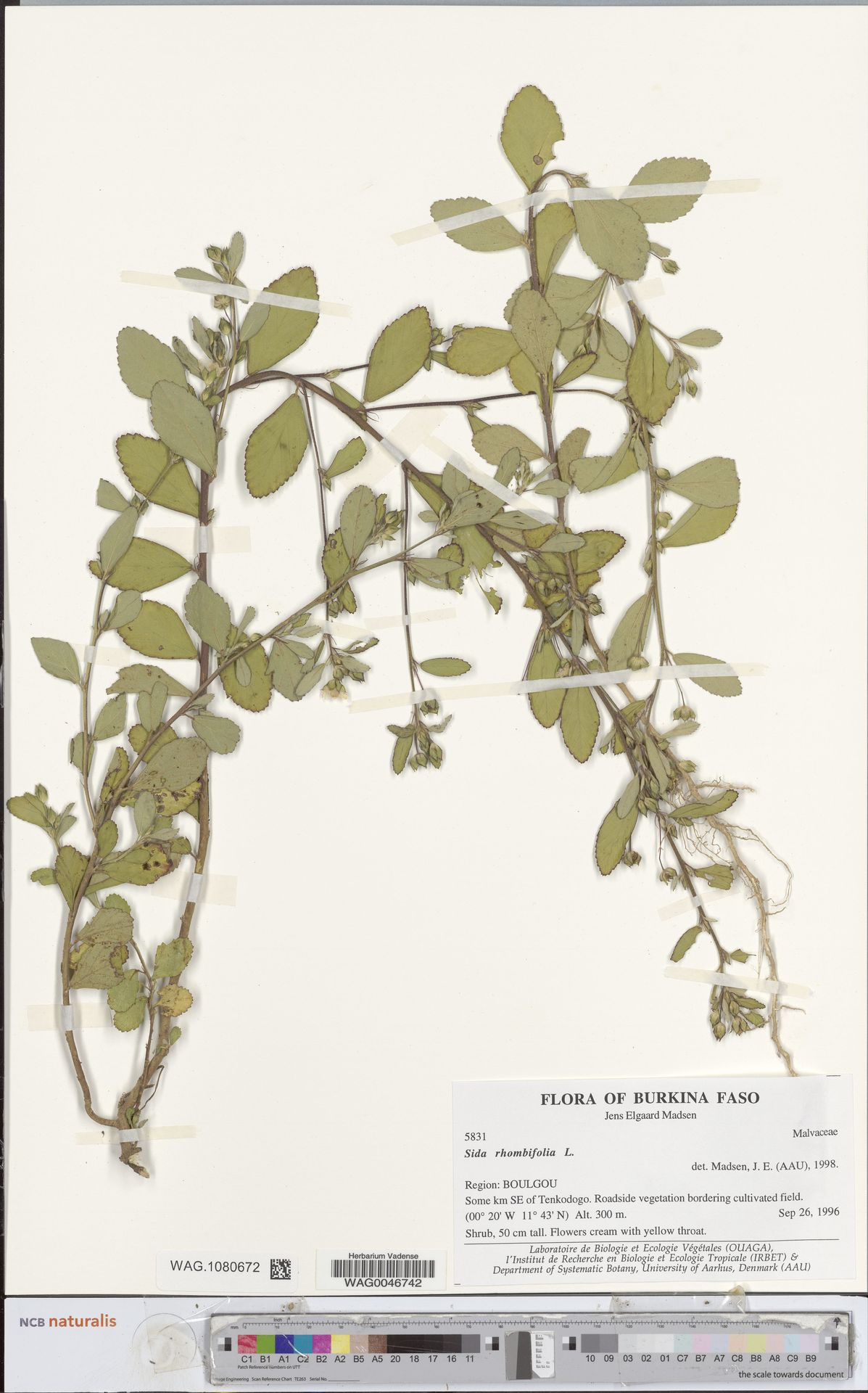 WAG.1080672 | Sida rhombifolia L.