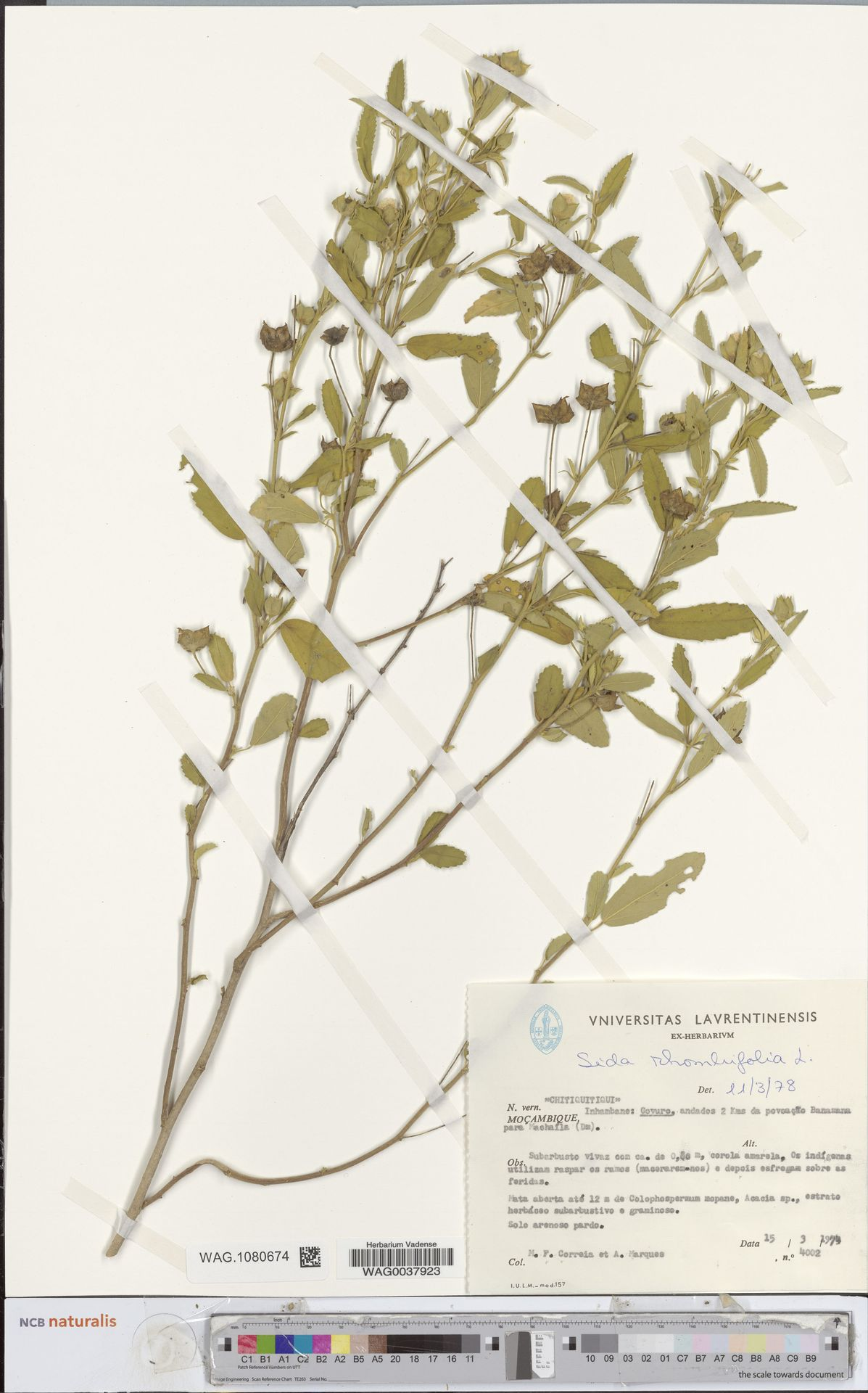 WAG.1080674 | Sida rhombifolia L.