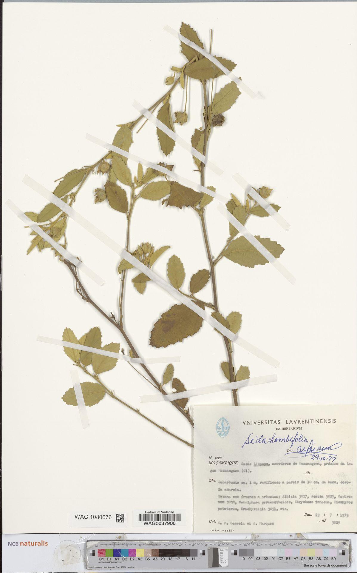 WAG.1080676 | Sida rhombifolia L.