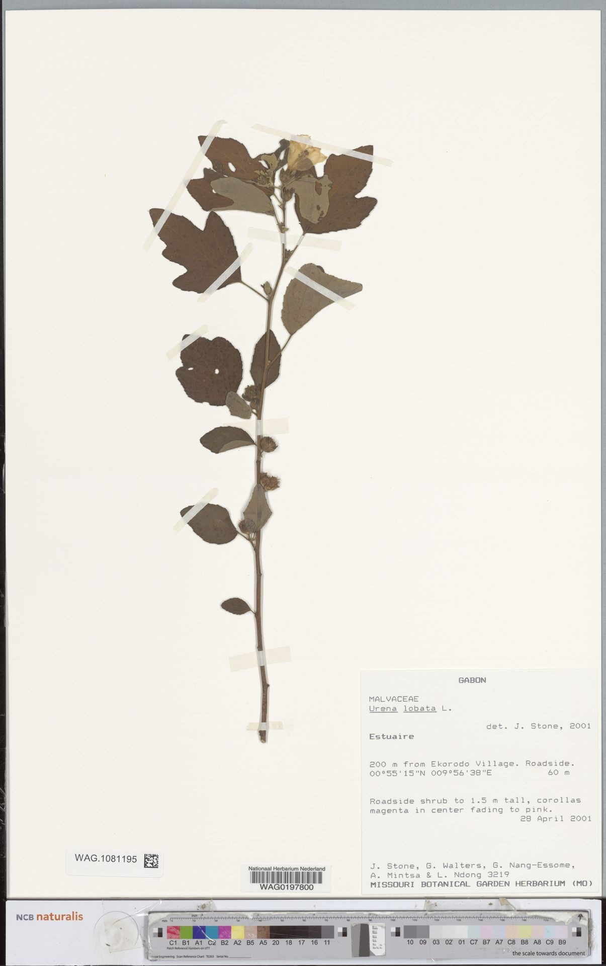WAG.1081195 | Urena lobata L.