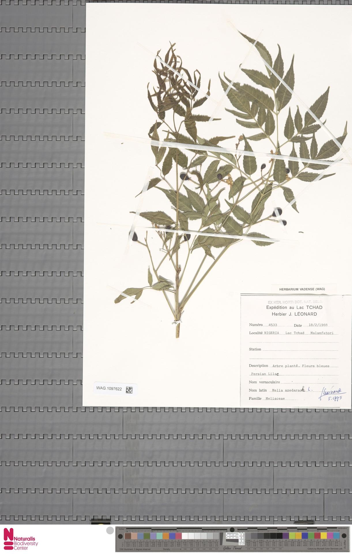 WAG.1097622 | Melia azedarach L.