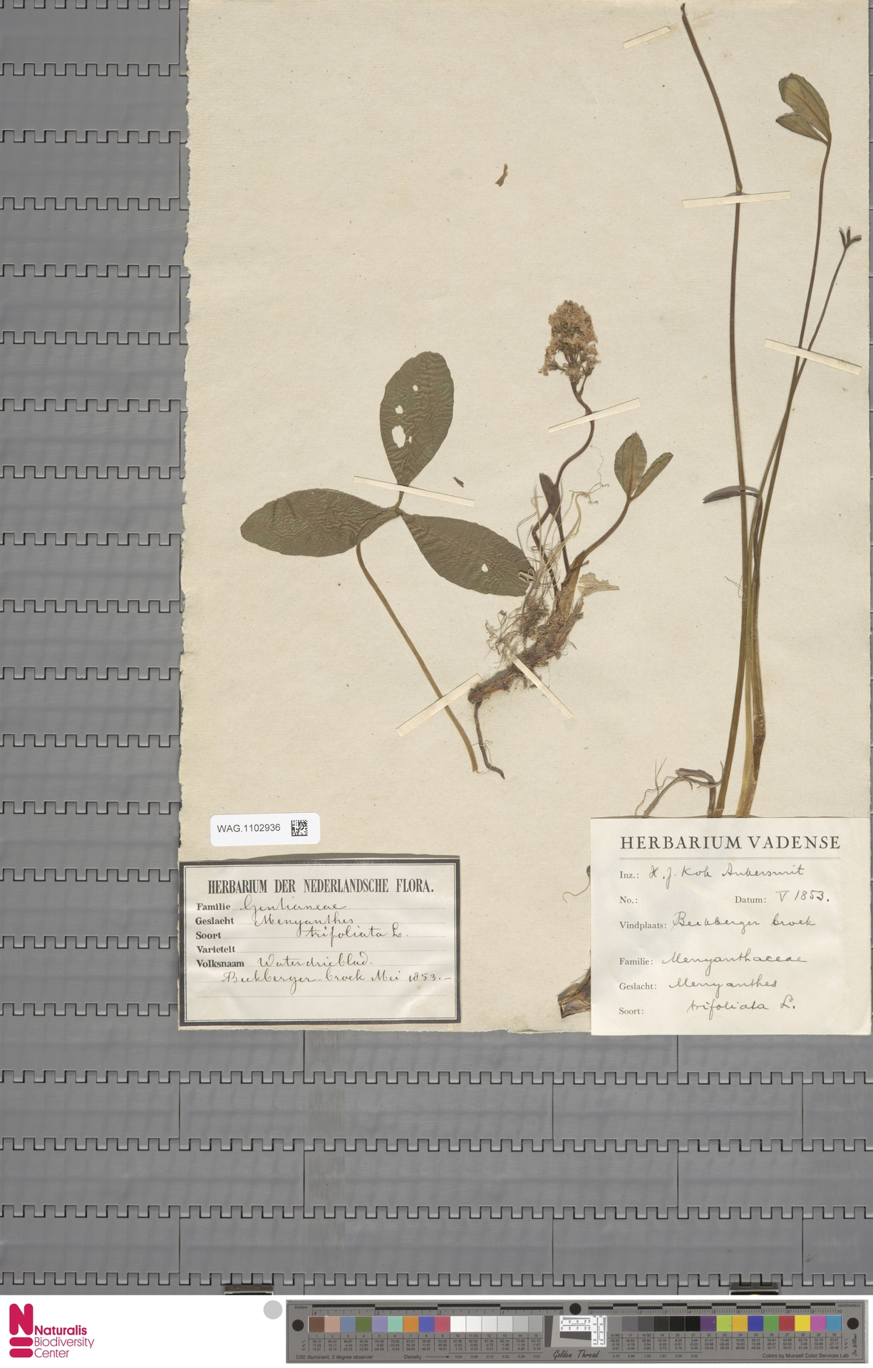 WAG.1102936 | Menyanthes trifoliata L.