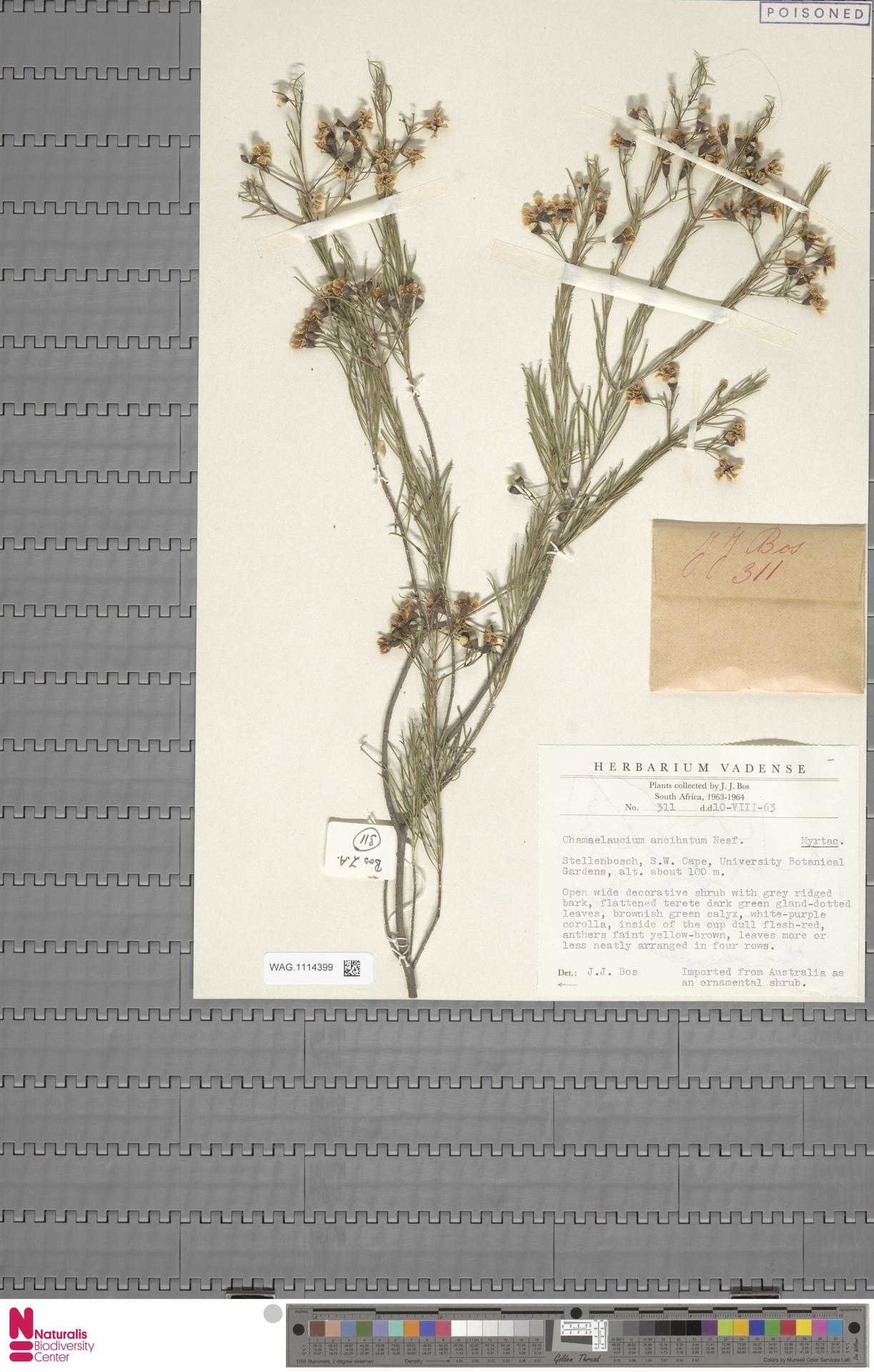 WAG.1114399 | Chamelaucium uncinatum Schauer