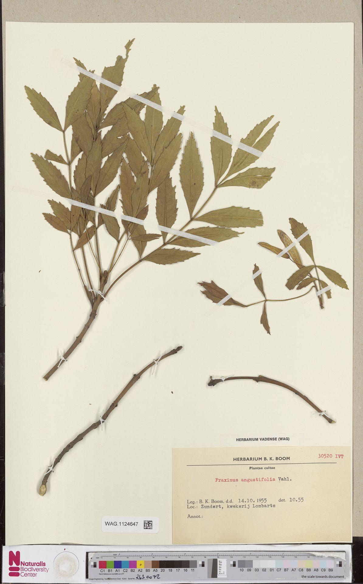 WAG.1124647 | Fraxinus angustifolia Vahl