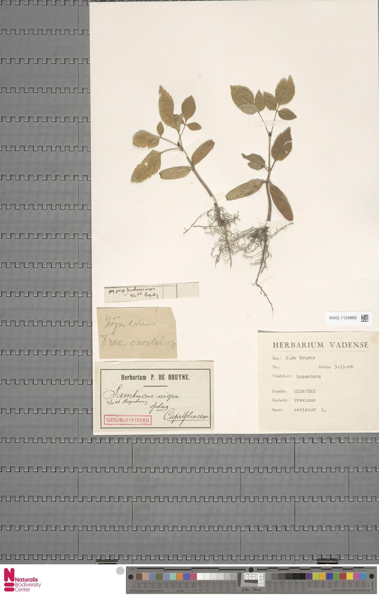 WAG.1124866 | Fraxinus excelsior L.