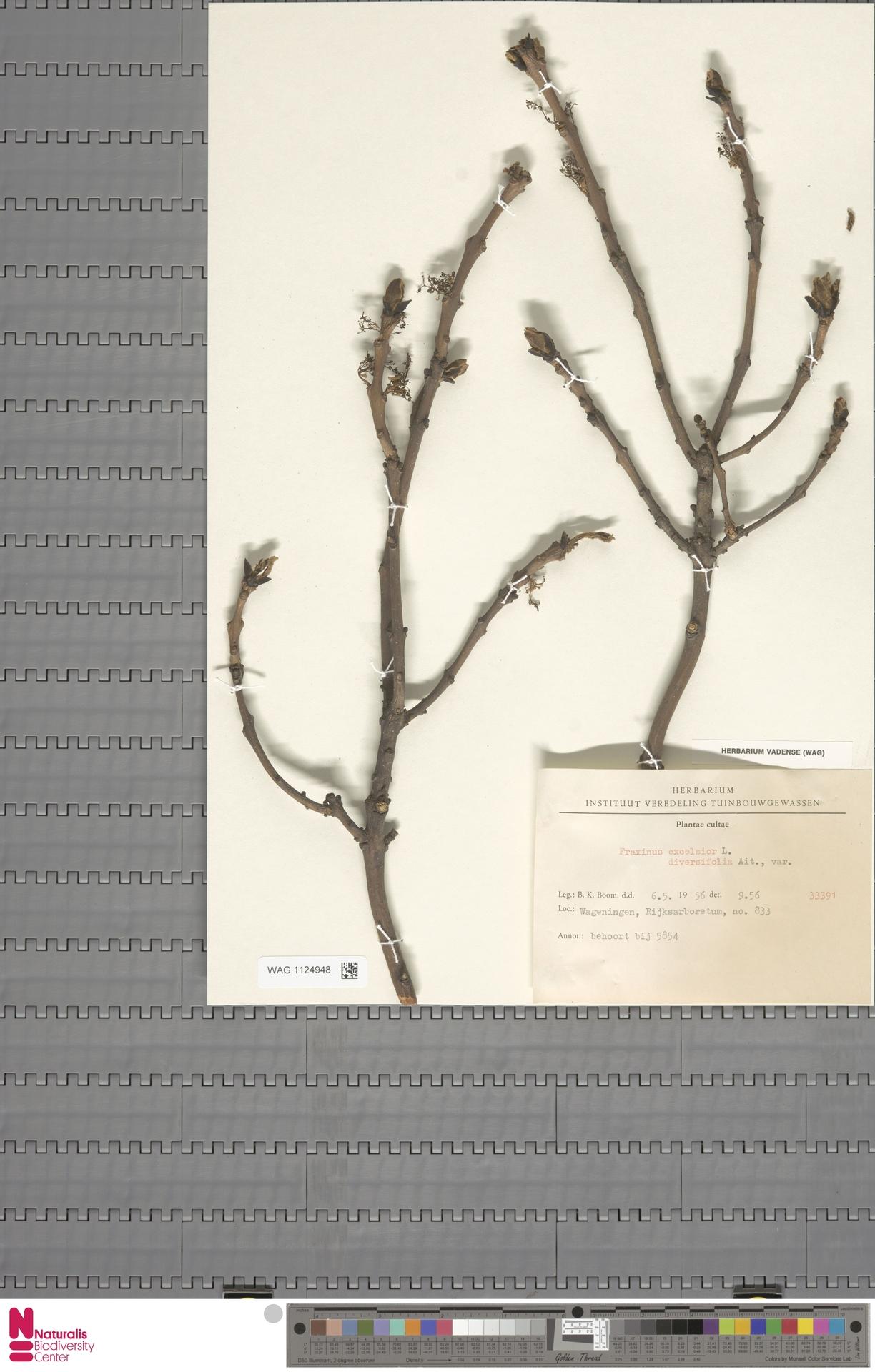 WAG.1124948   Fraxinus excelsior ait. diversifolia