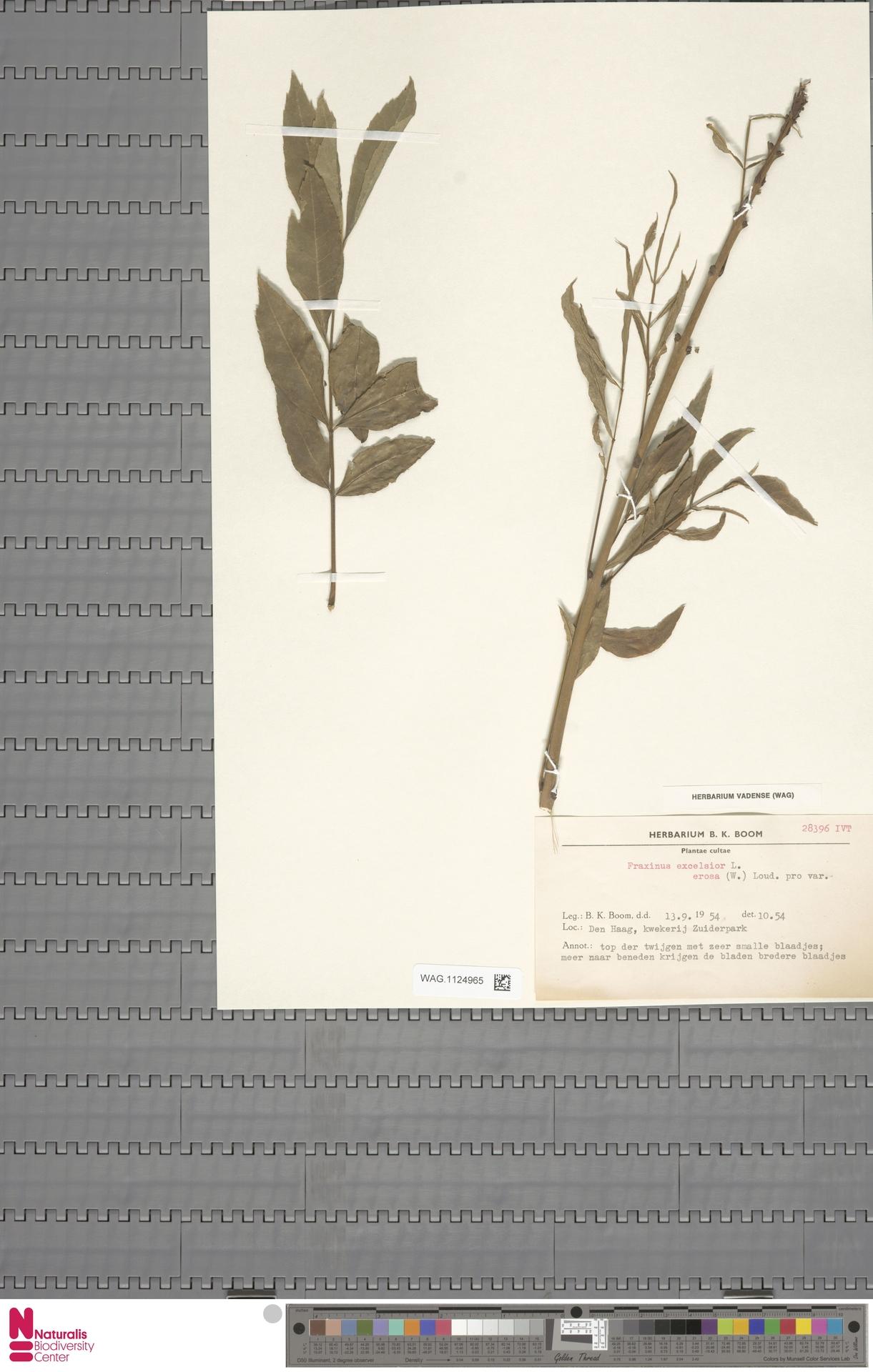 WAG.1124965   Fraxinus excelsior cv. Brosa