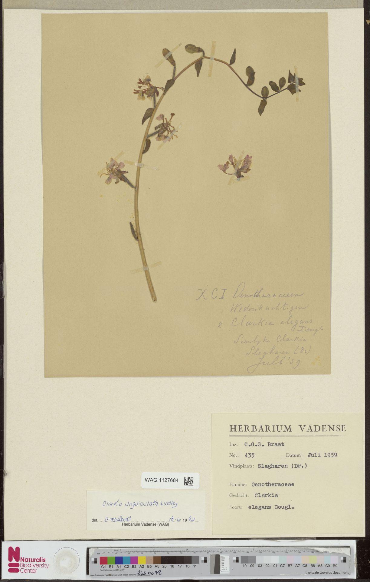 WAG.1127684 | Clarkia unguiculata Lindl.