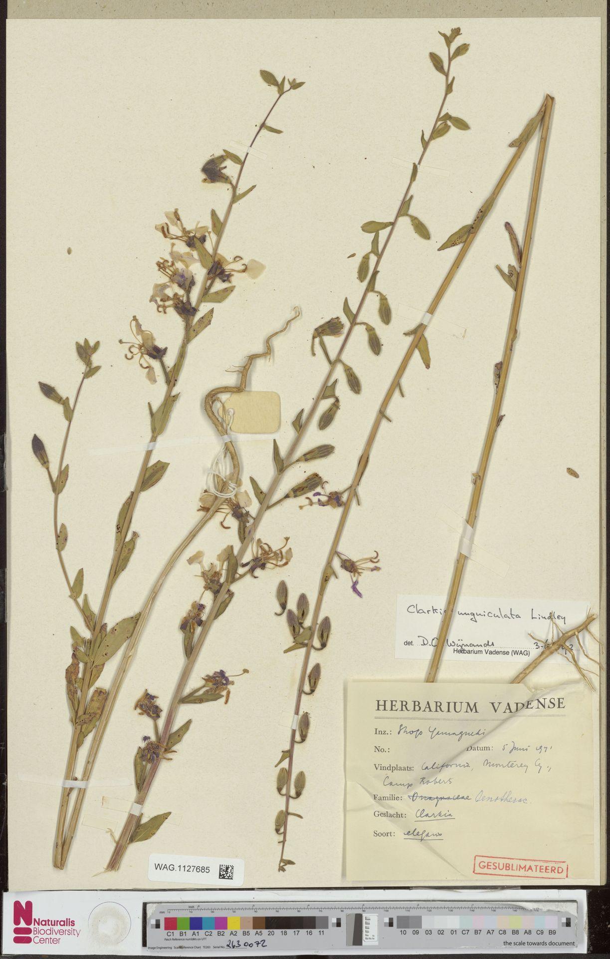 WAG.1127685 | Clarkia unguiculata Lindl.