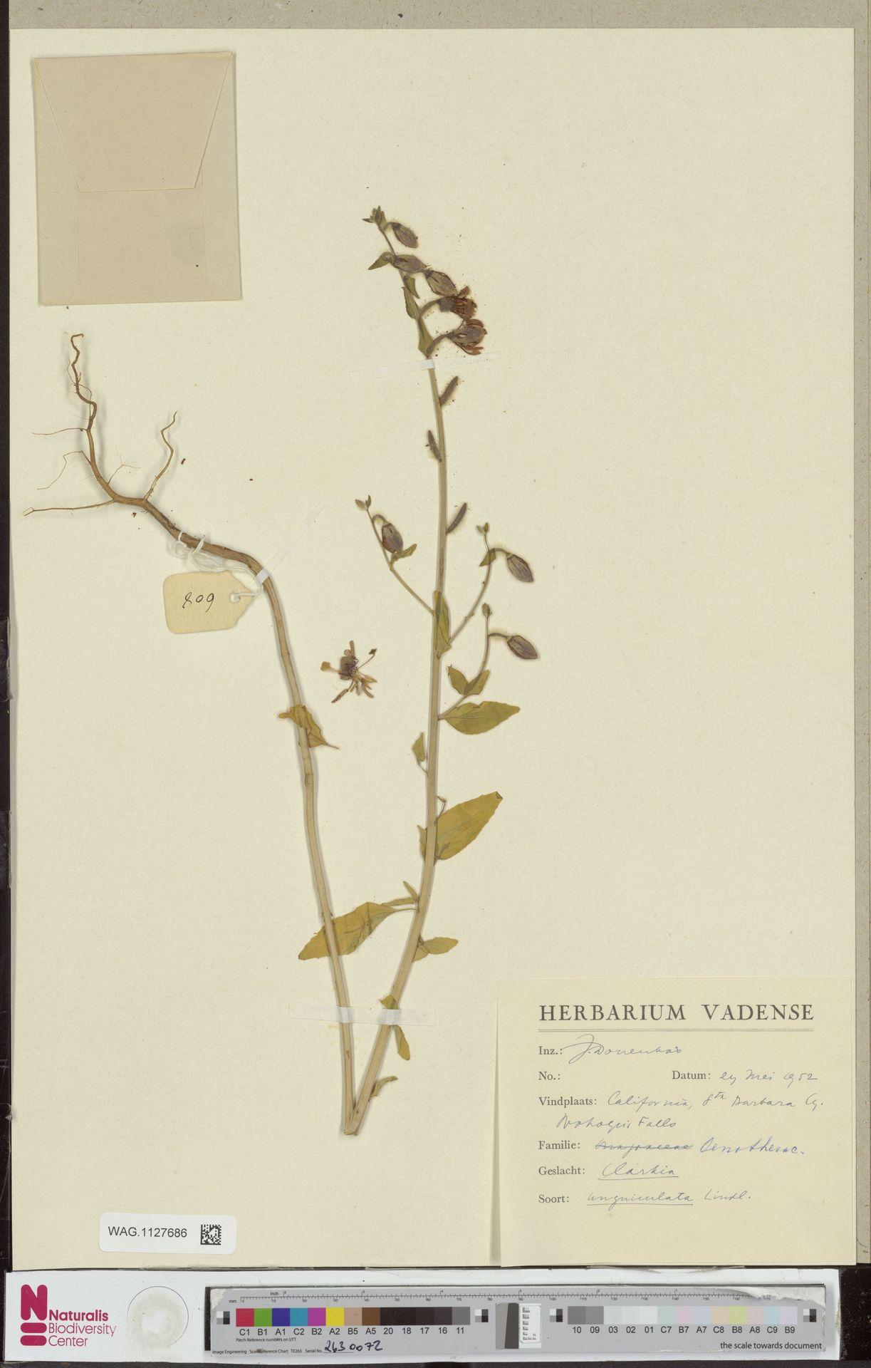 WAG.1127686 | Clarkia unguiculata Lindl.