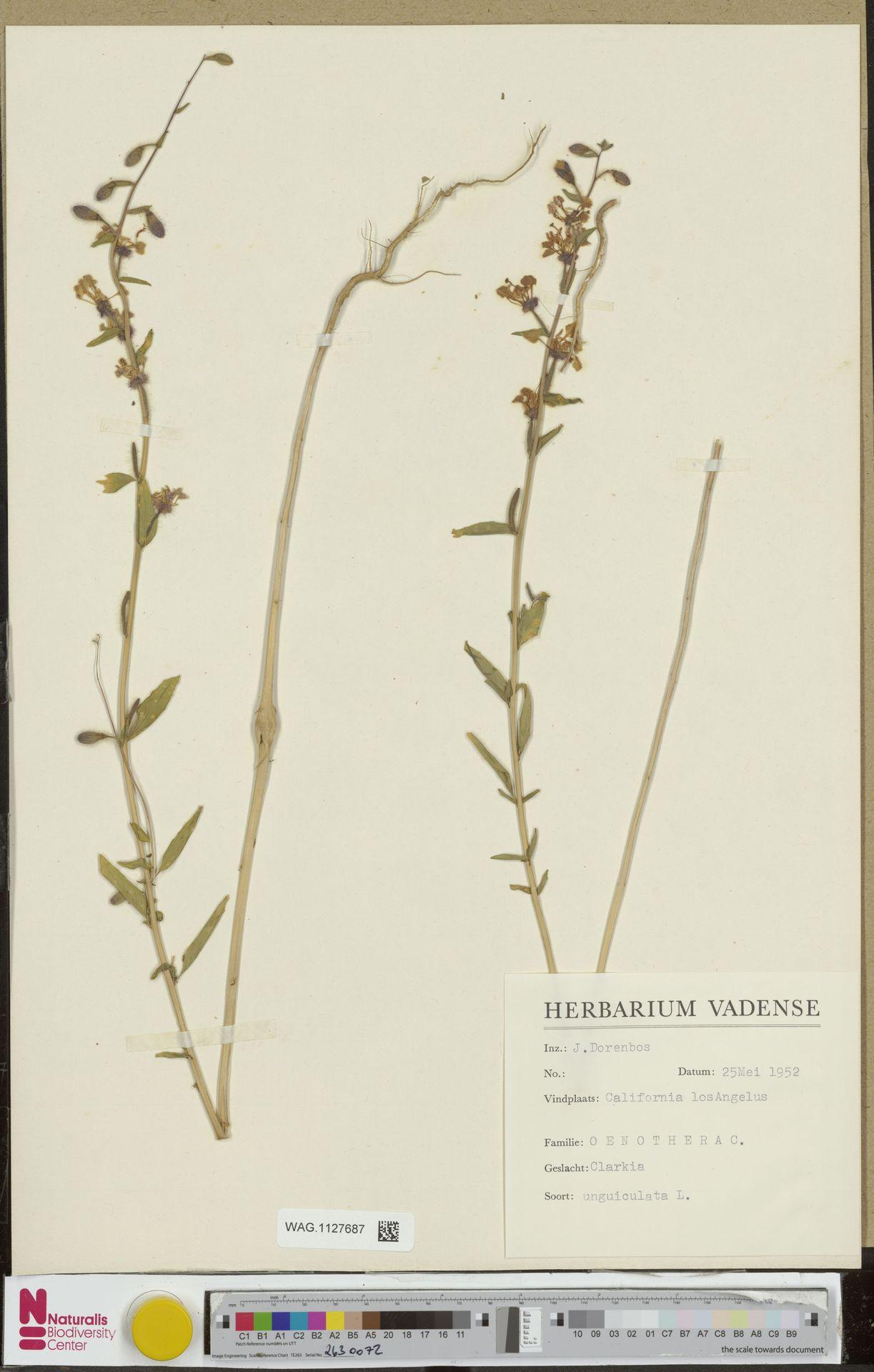 WAG.1127687 | Clarkia unguiculata Lindl.