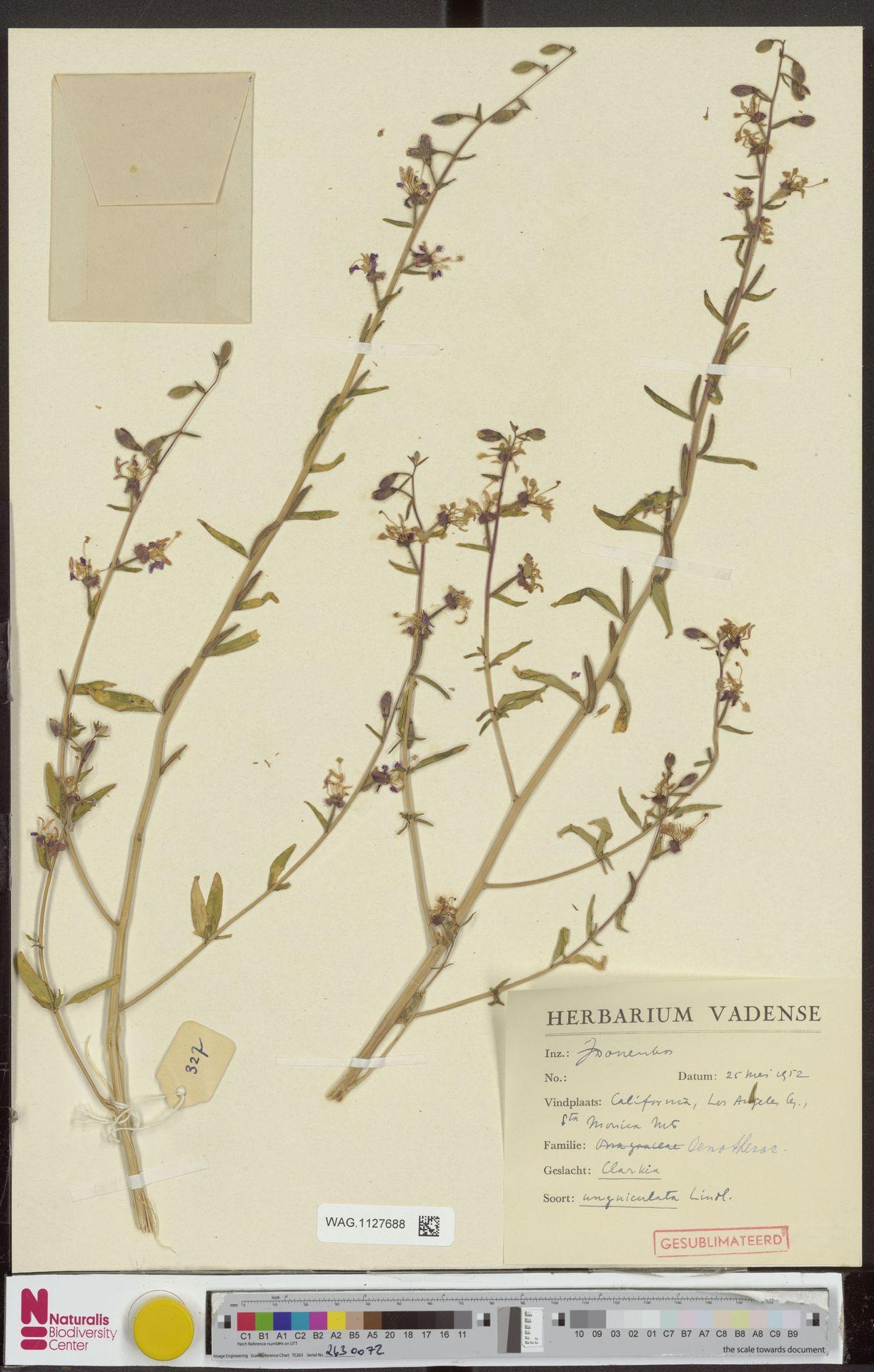 WAG.1127688 | Clarkia unguiculata Lindl.